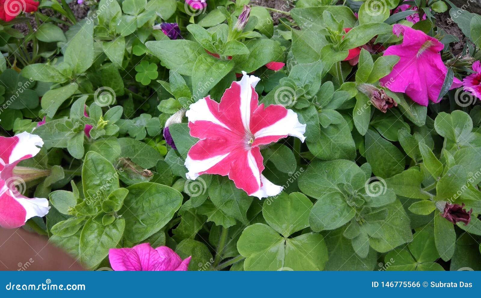Это изображение цветков петуньи