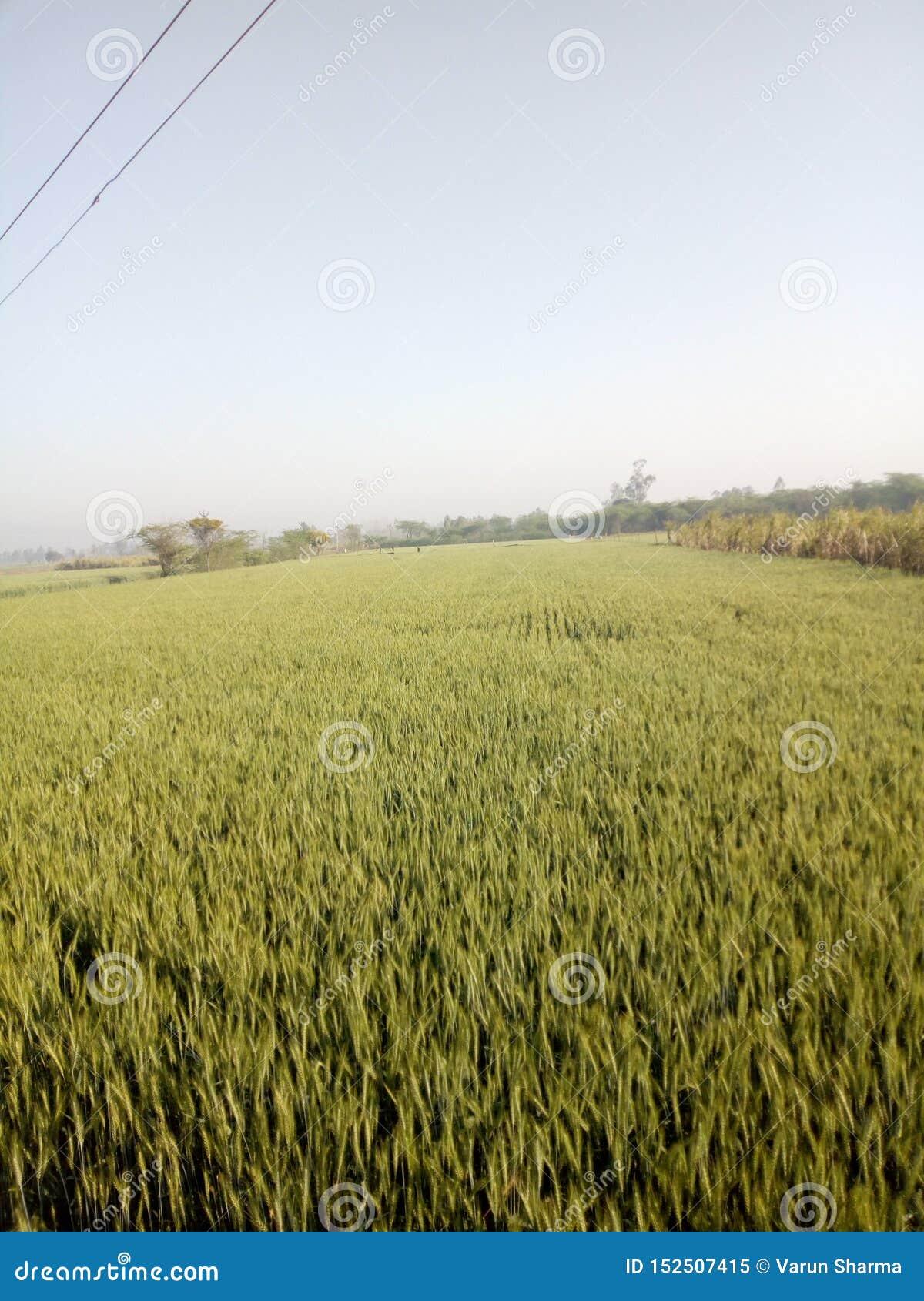 Это индийские урожаи пшеничное поле Thos настолько красиво