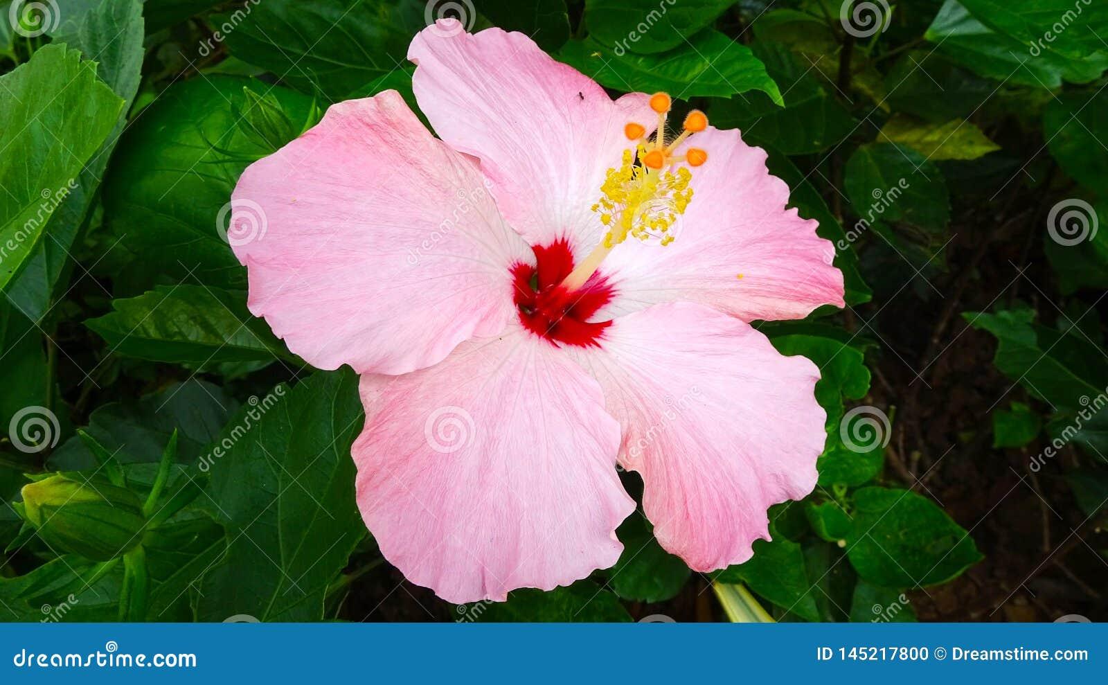 Это красивая китайская роза