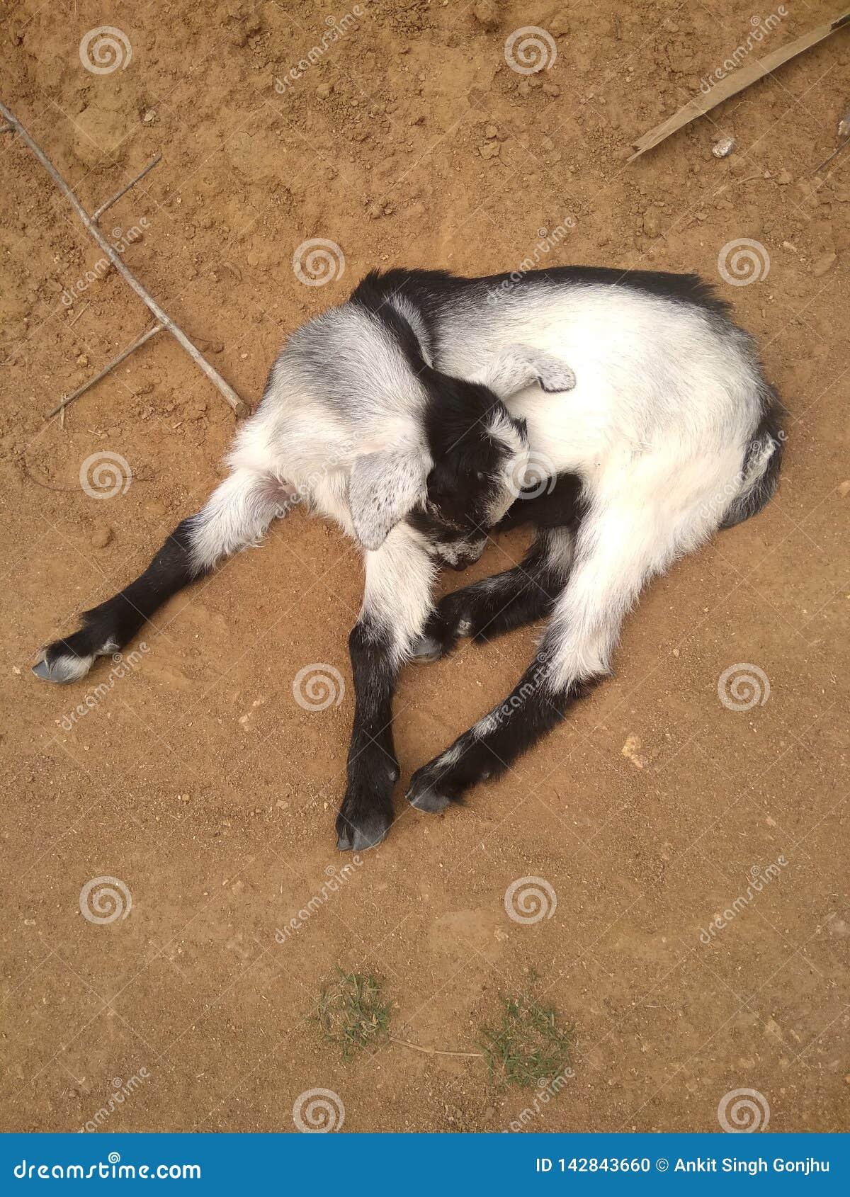 Это прекрасный ребенок litte козы и прекращенный