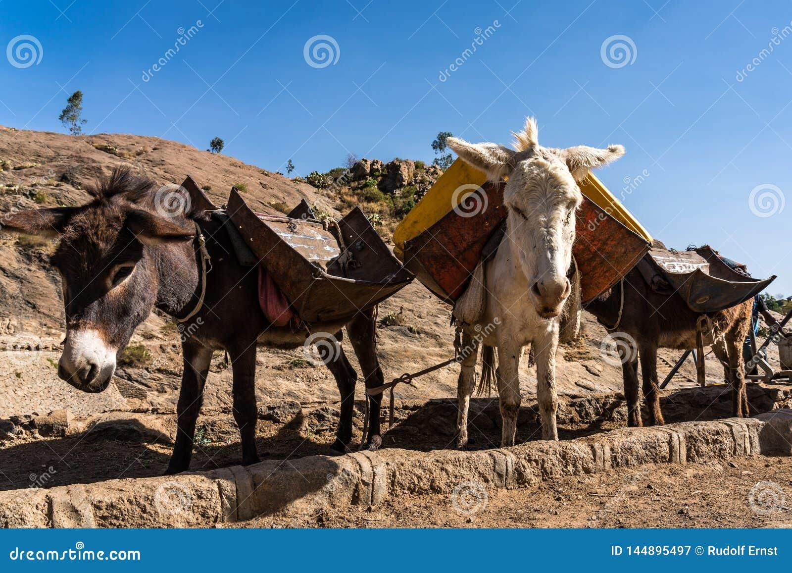 Эфиопия, Axum, ослы в руинах ванн ферзя Saba