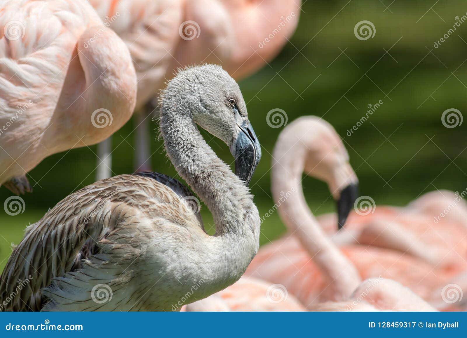 Ювенильная чилийская птица фламинго Серый цыпленок среди розовых взрослых