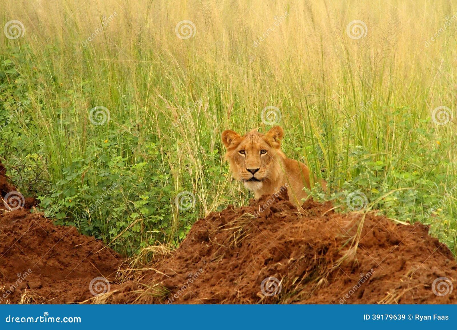 Ювенильный мужской лев всматривается вне от длинной травы