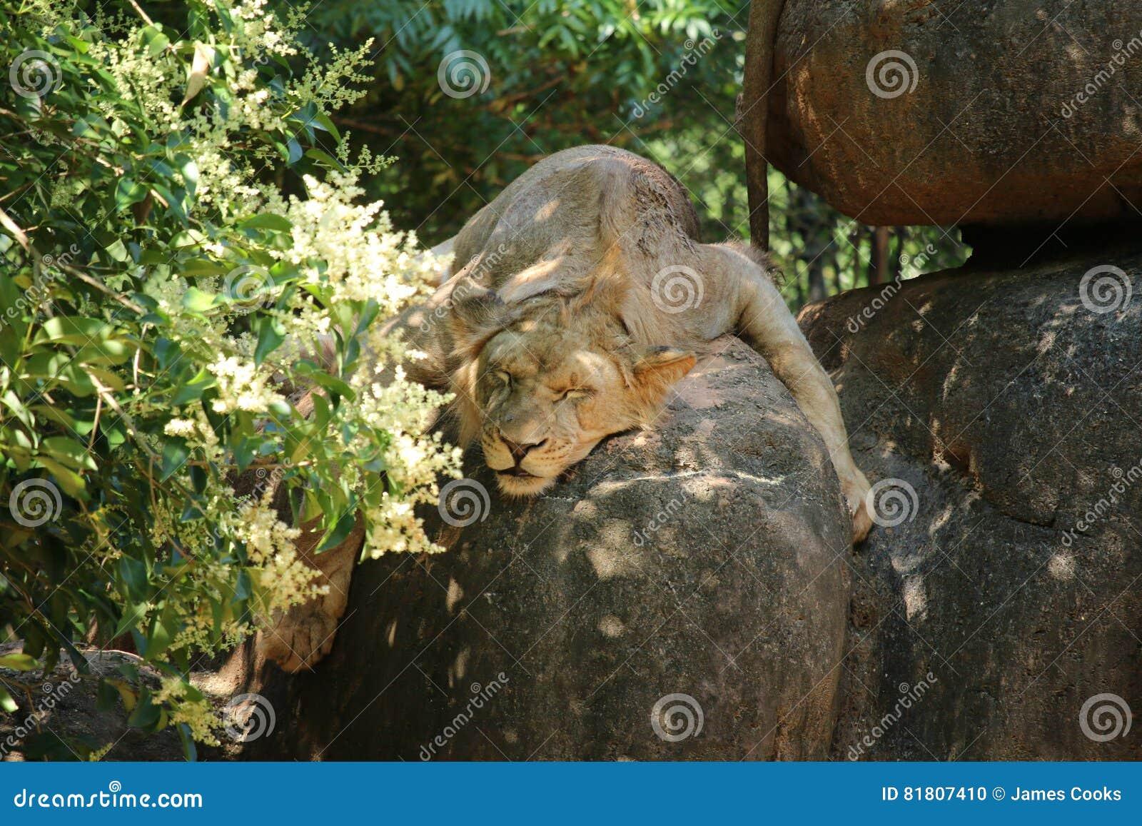 Ювенильный мужской лев