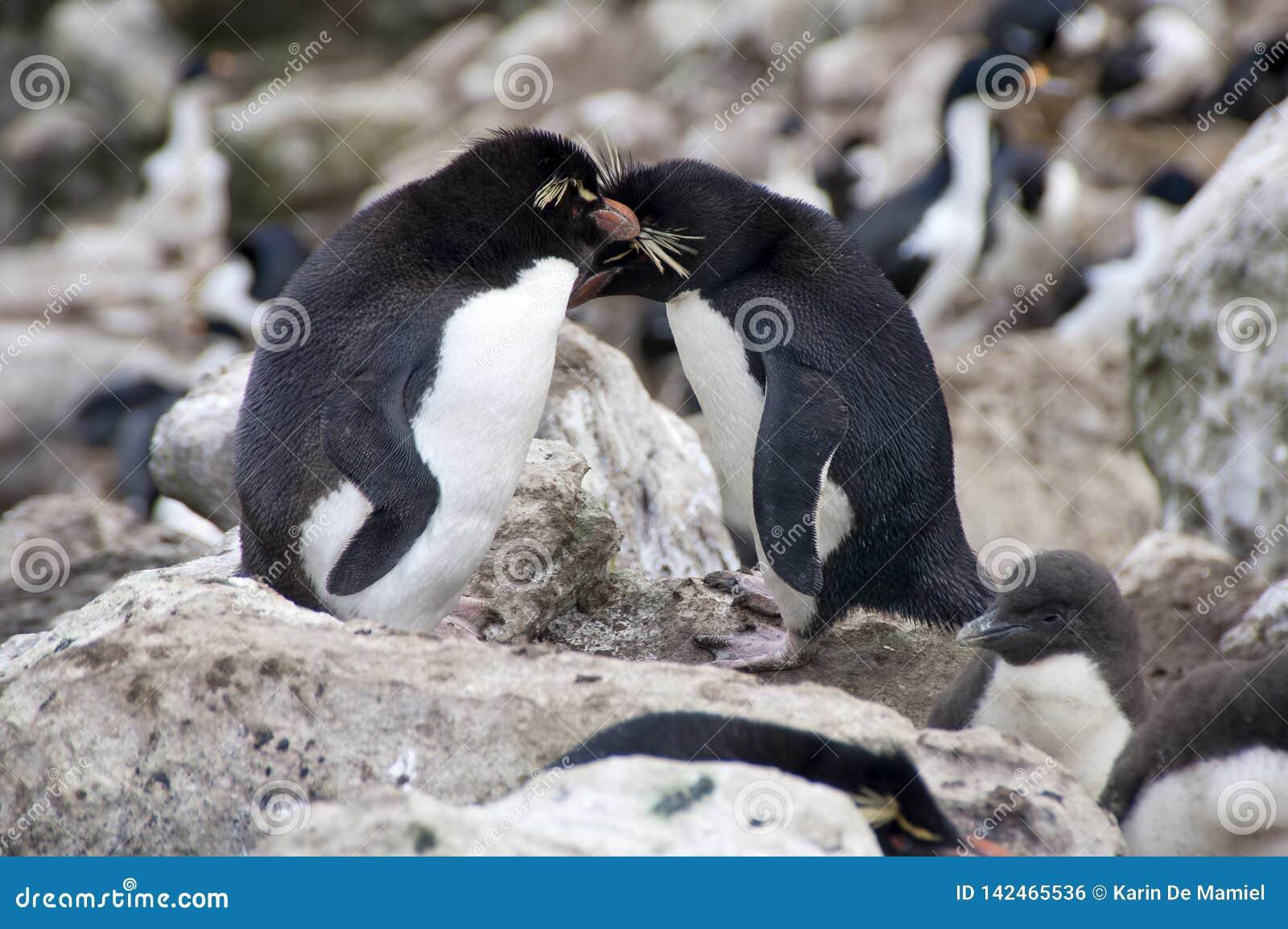 2 южных пингвина Rockhopper в колонии