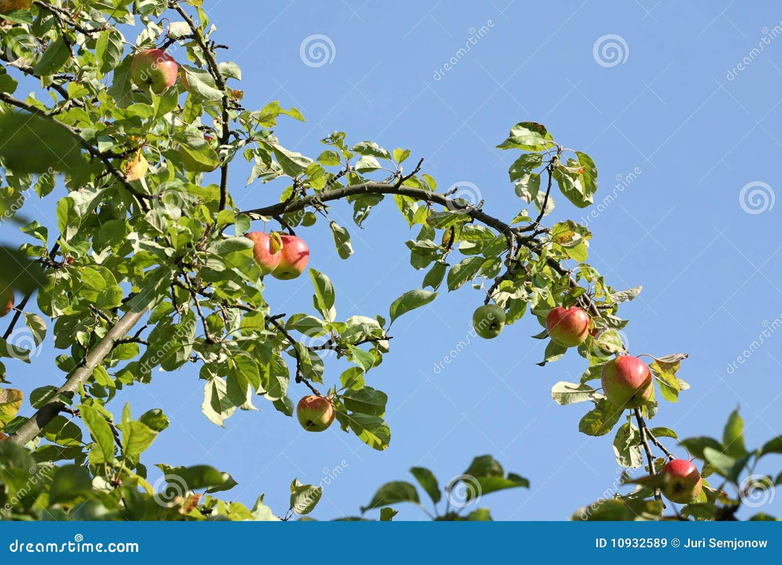 яблоки зрелые