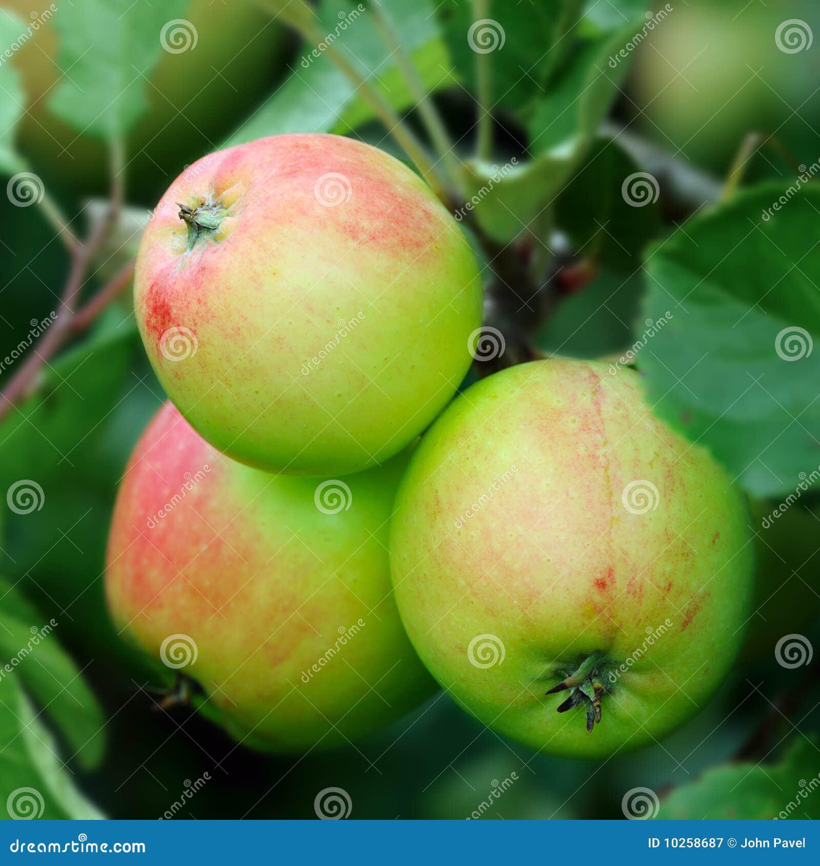 яблоки краснеют английский зеленый красный зреть