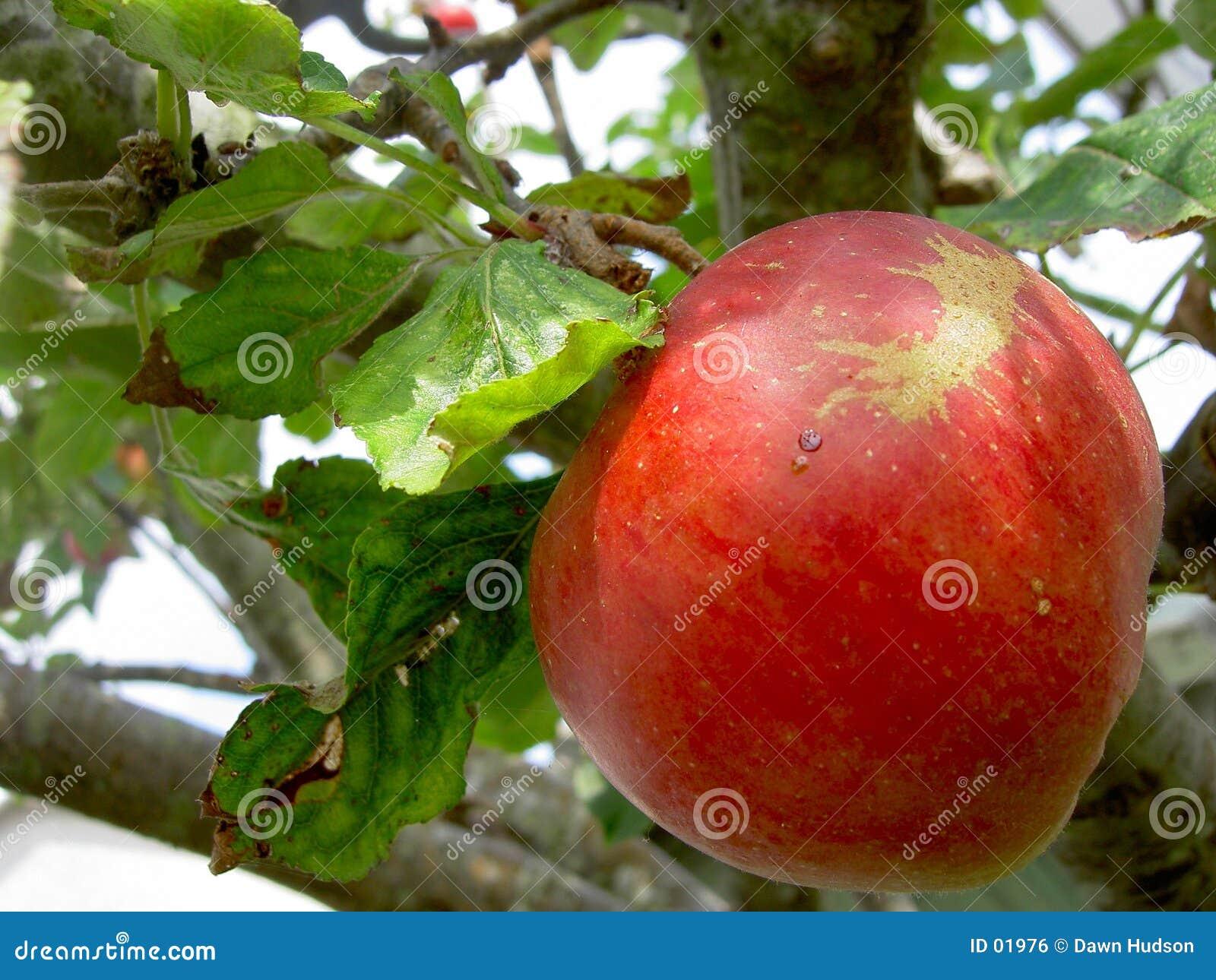 яблоко зрелое