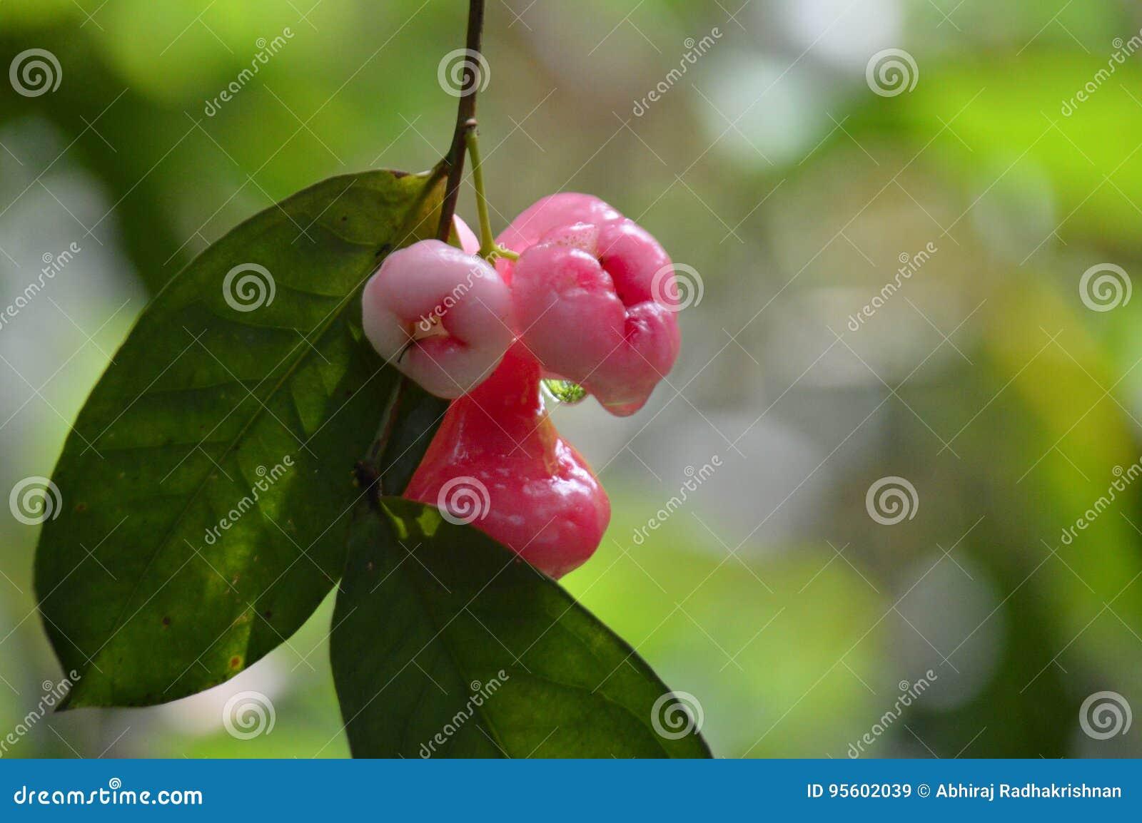 Яблоко Ява, сизигиум Semarang или samarangense Syzygium