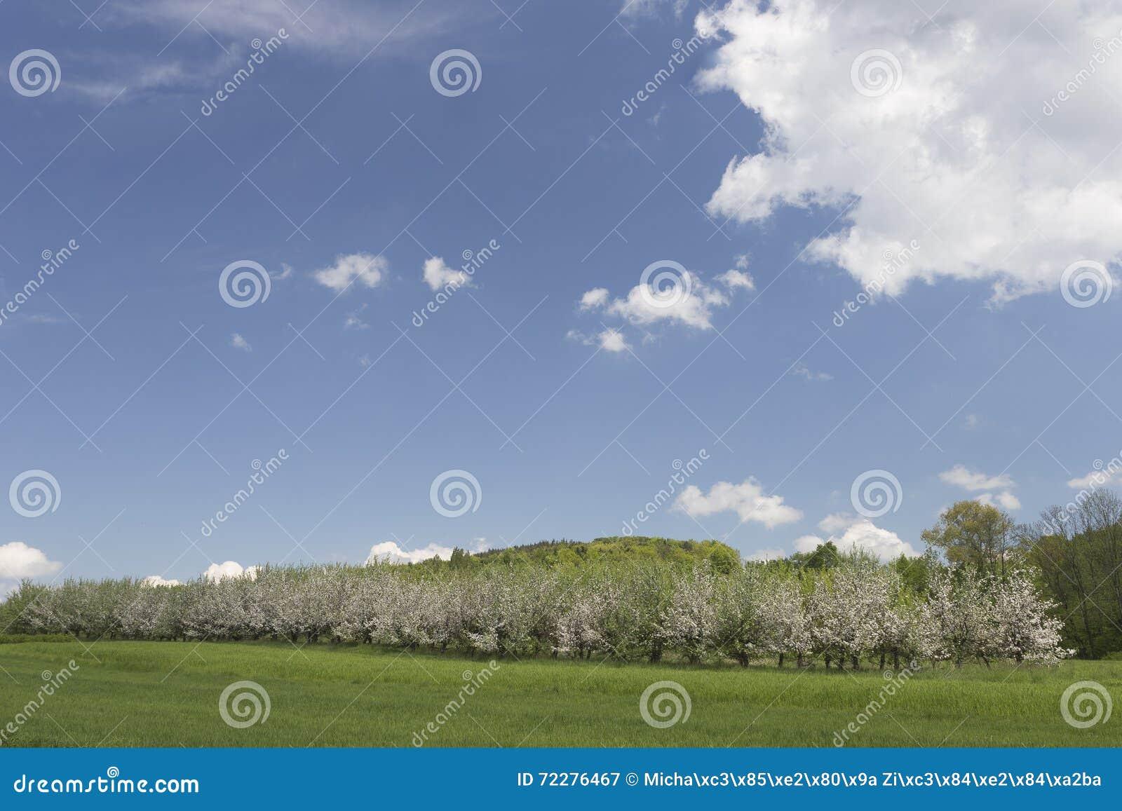Download Яблони белизны зацветая стоковое изображение. изображение насчитывающей springtime - 72276467