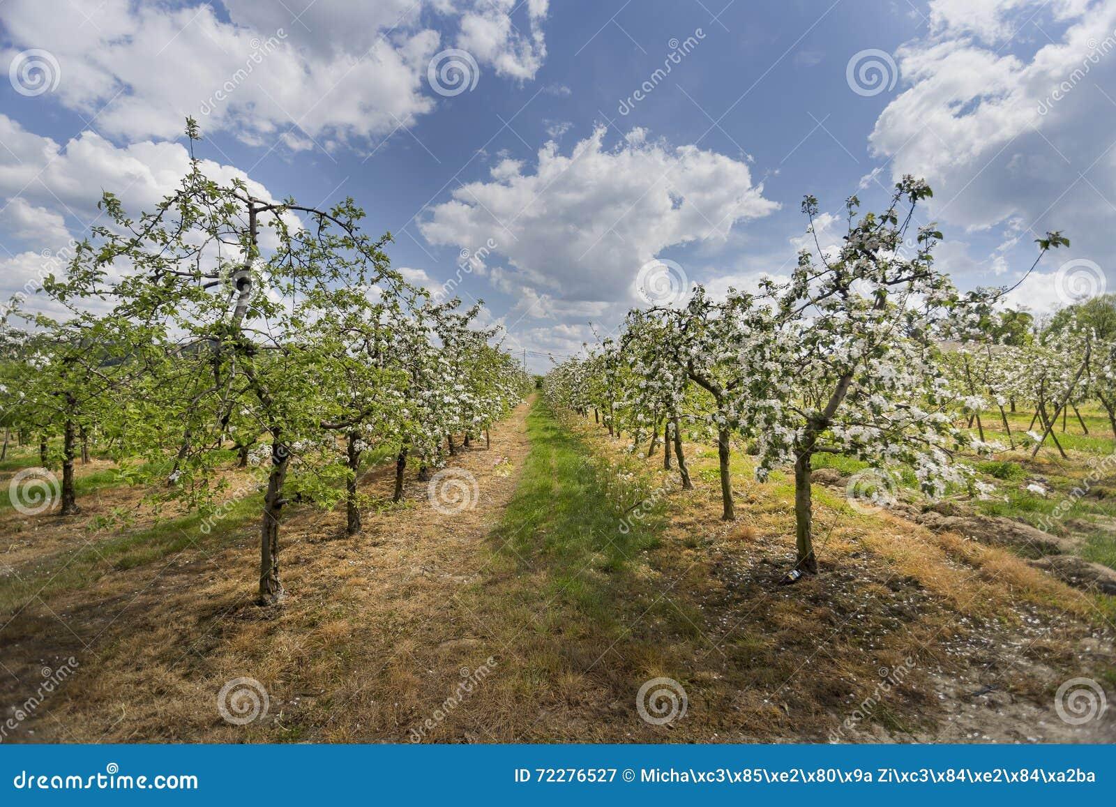 Download Яблони белизны зацветая стоковое изображение. изображение насчитывающей завод - 72276527