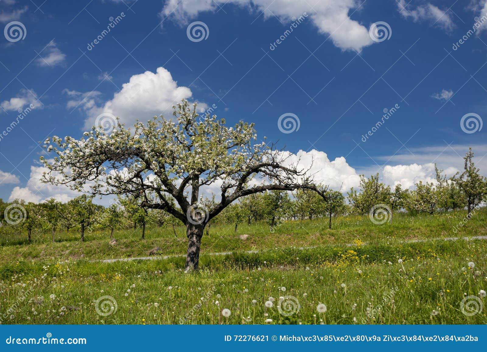 Download Яблони белизны зацветая стоковое изображение. изображение насчитывающей backhoe - 72276621