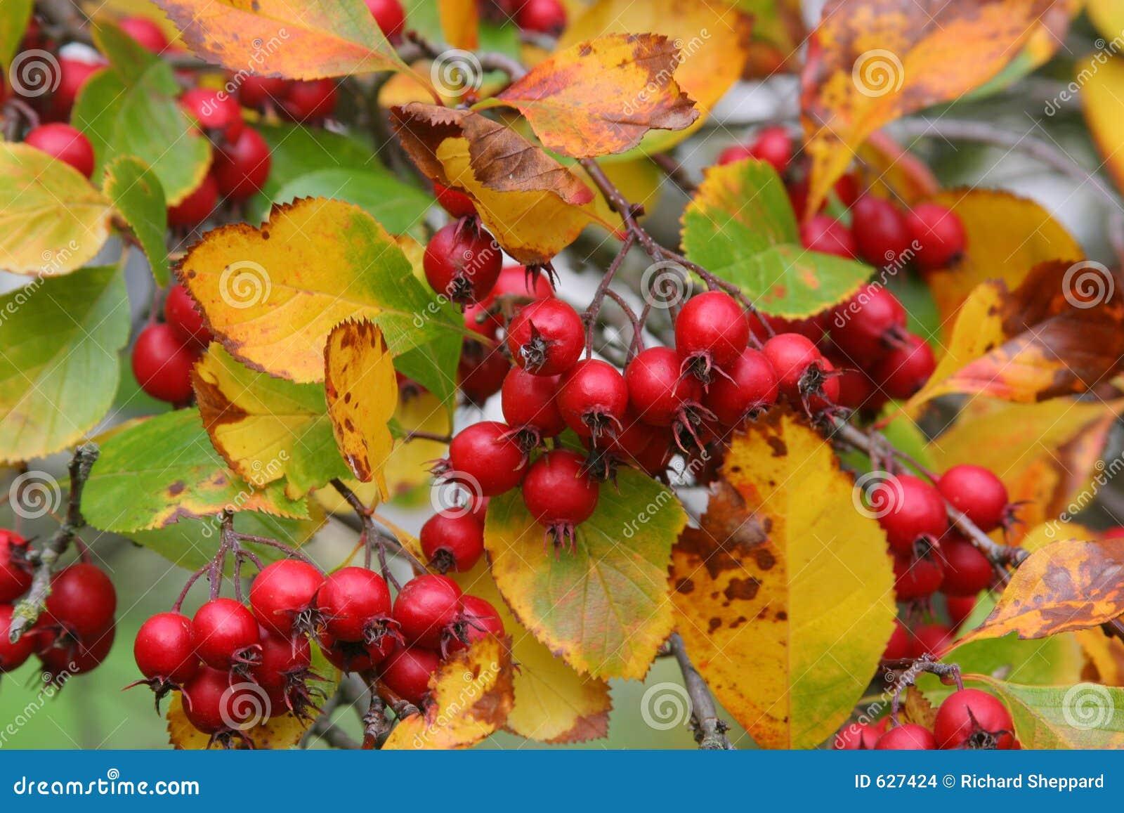 Download ягоды красные стоковое фото. изображение насчитывающей хлебоуборка - 627424
