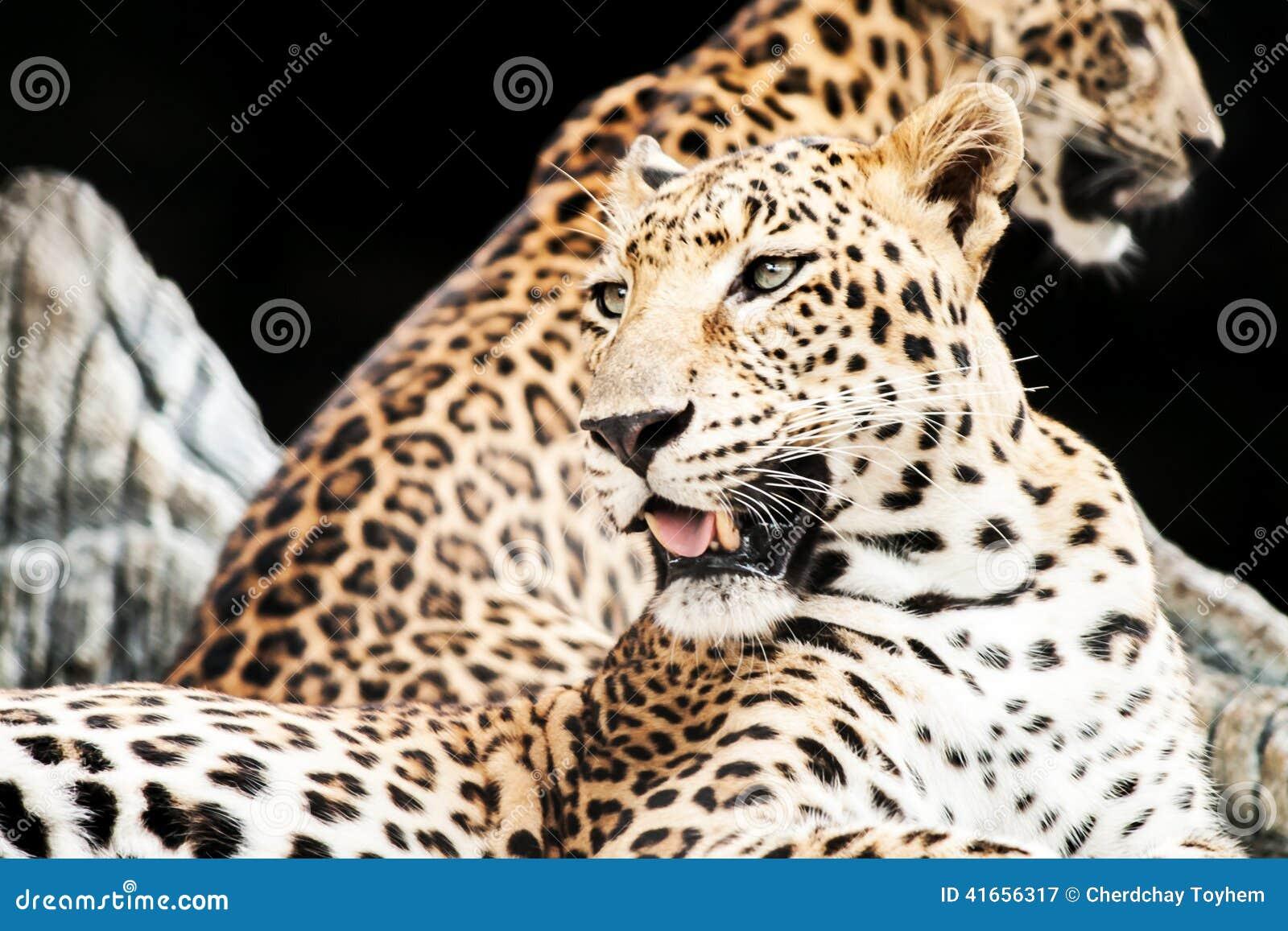 Ягуар отдыхая в зоопарке