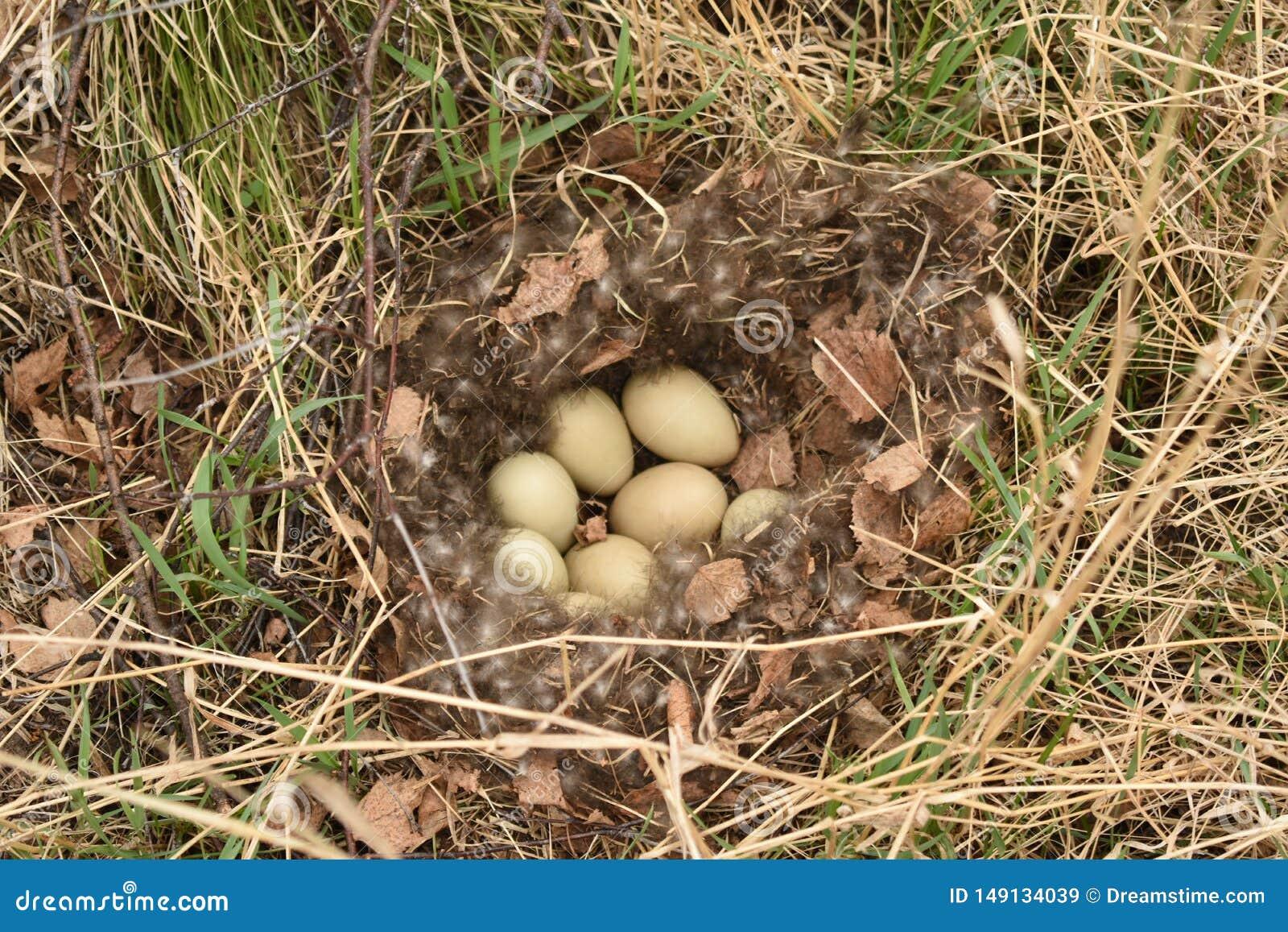 Яйца дикой утки в гнезде с вниз