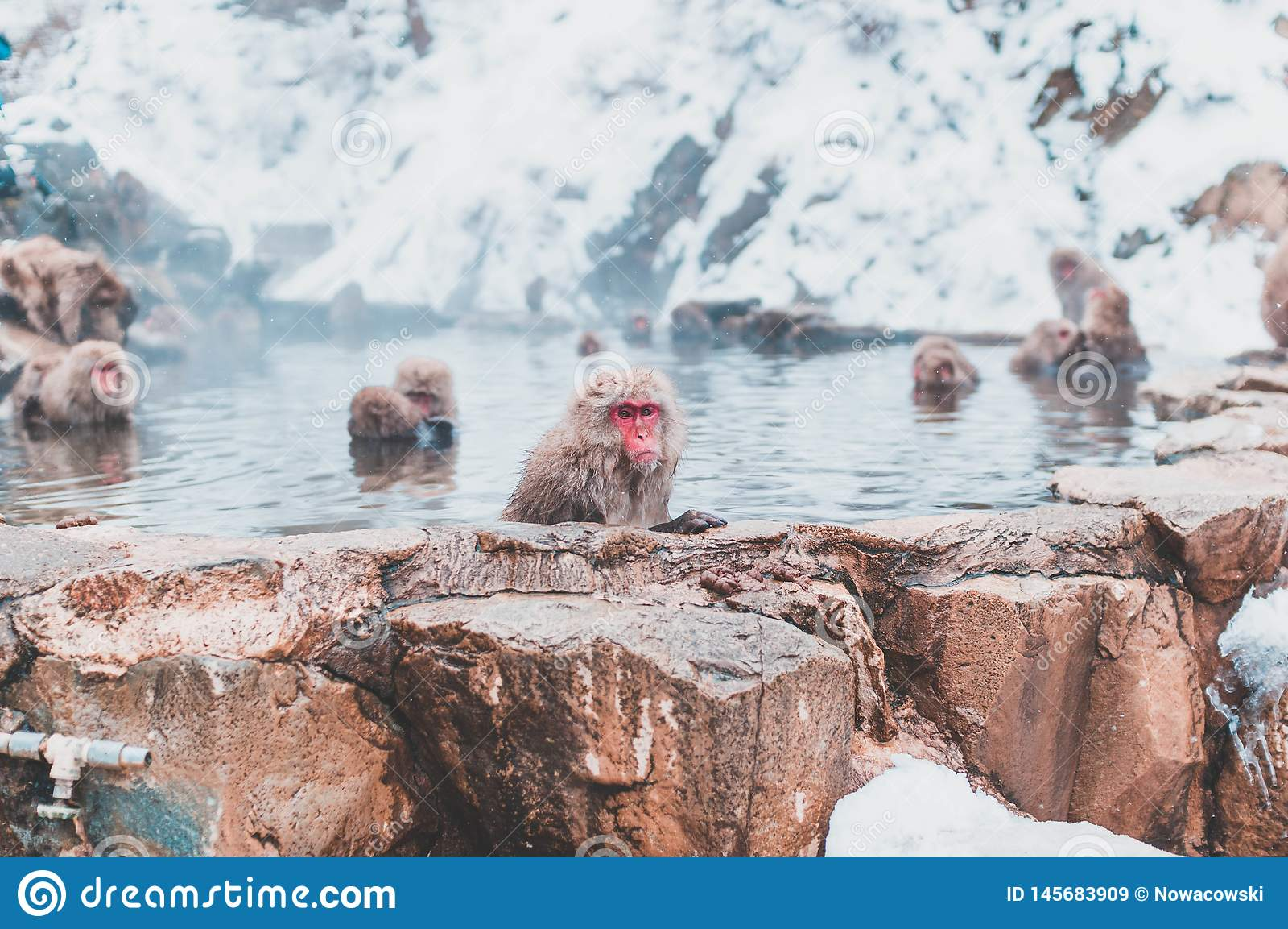 Японская макака отдыхая в горячем источнике