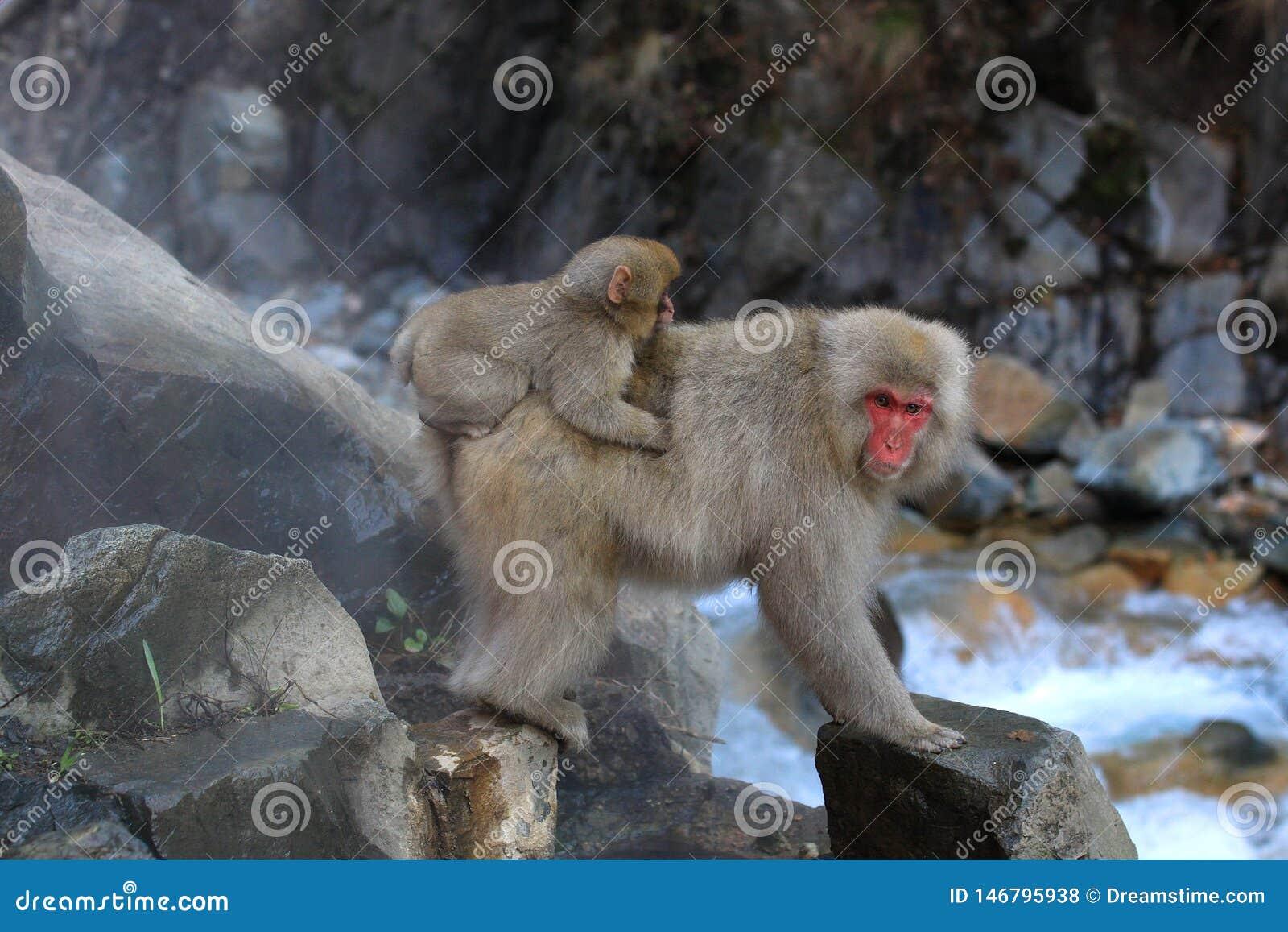 Японская обезьяна снега с младенцем