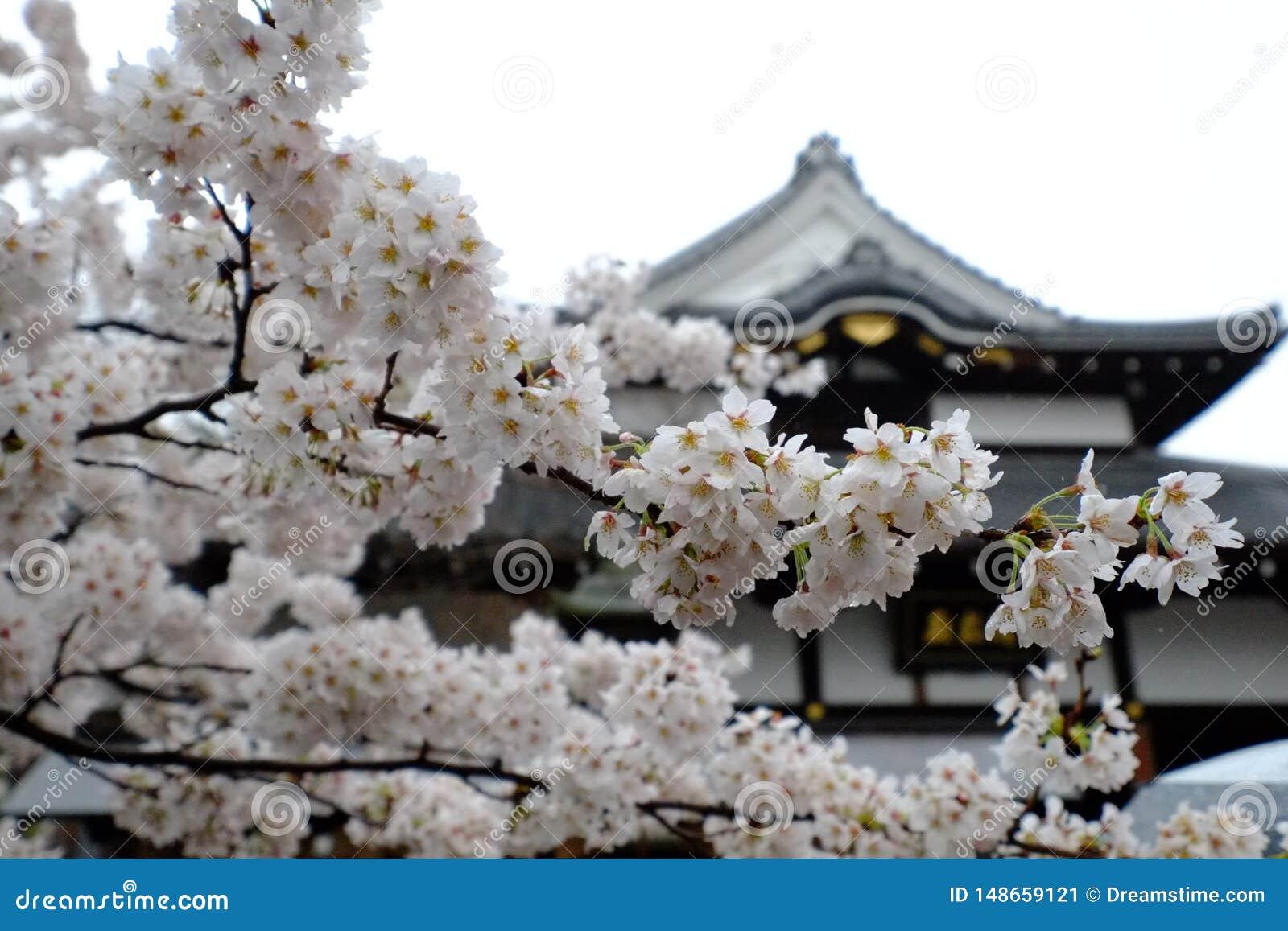 Японское цветение вишневого дерева