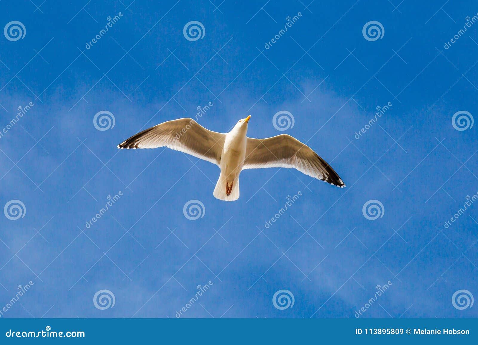 яркая чайка изображения полета солнечная