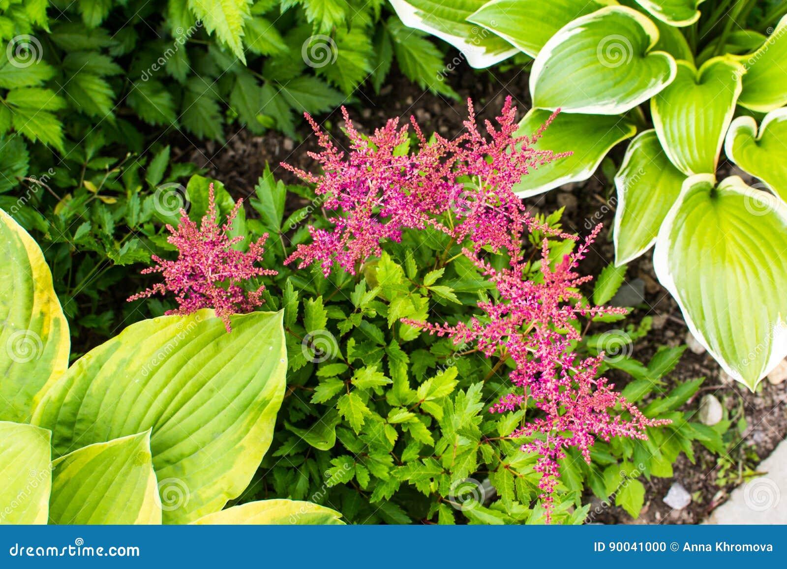 Хоста с красными цветками