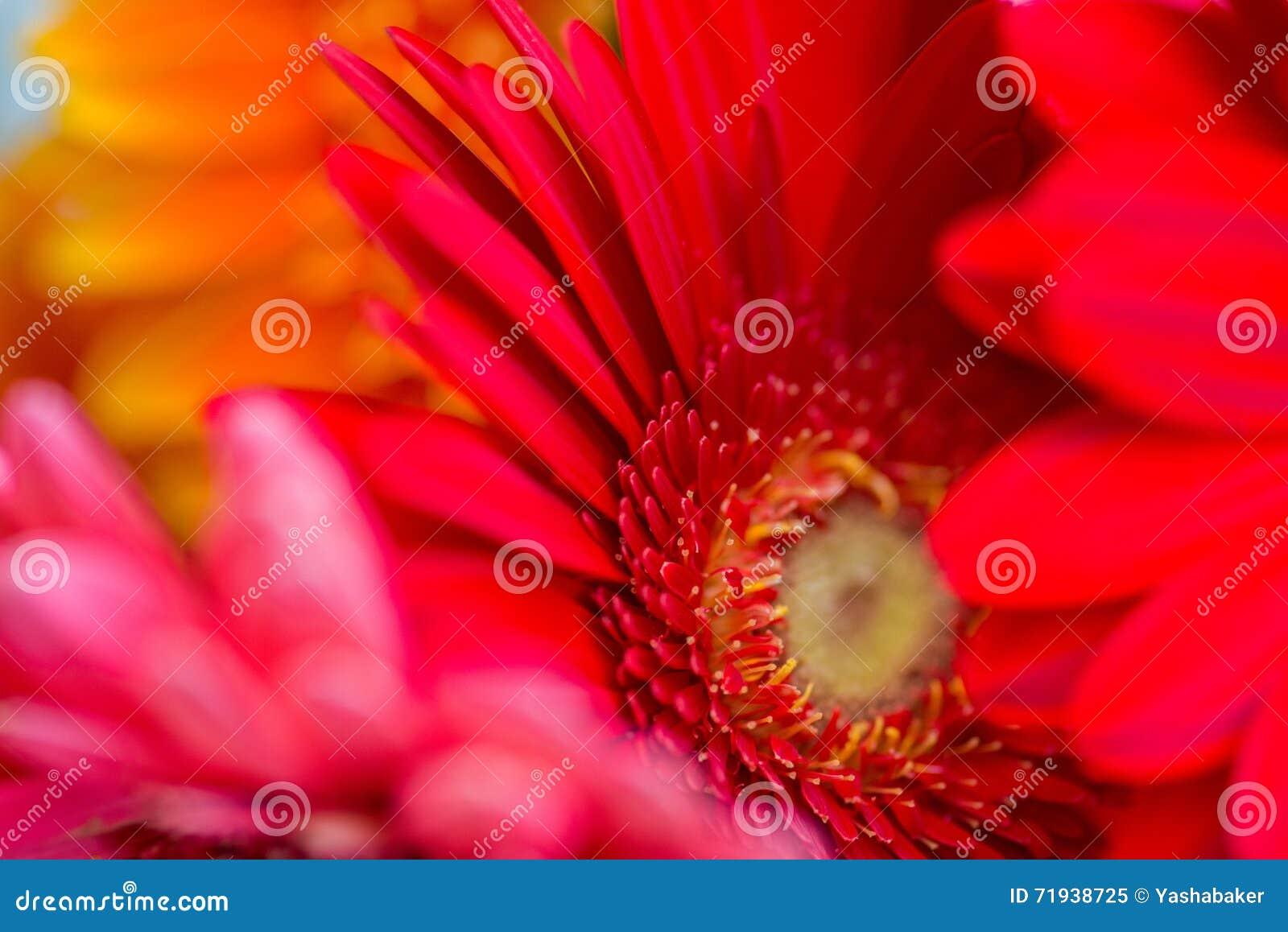 Яркий красный и розовый Gerbera цветет предпосылка