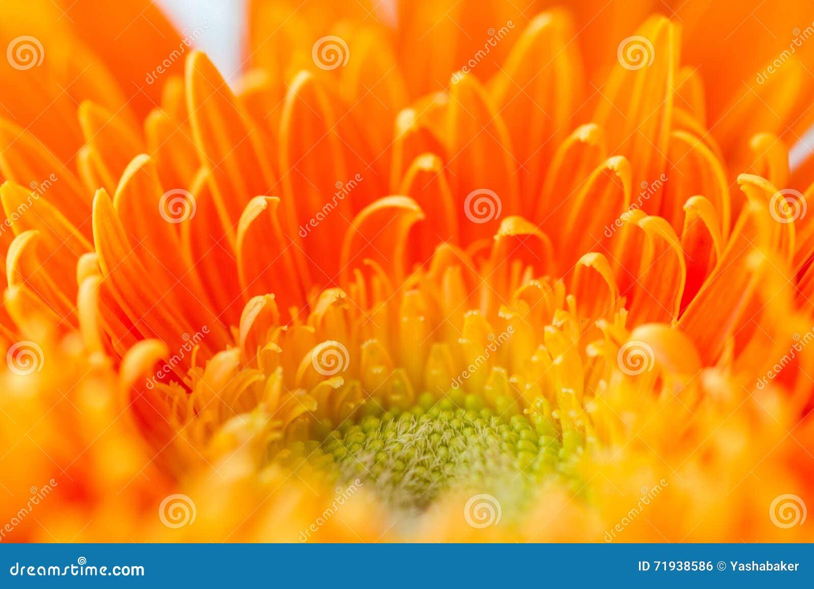 Яркий оранжевый gerbera цветет предпосылка