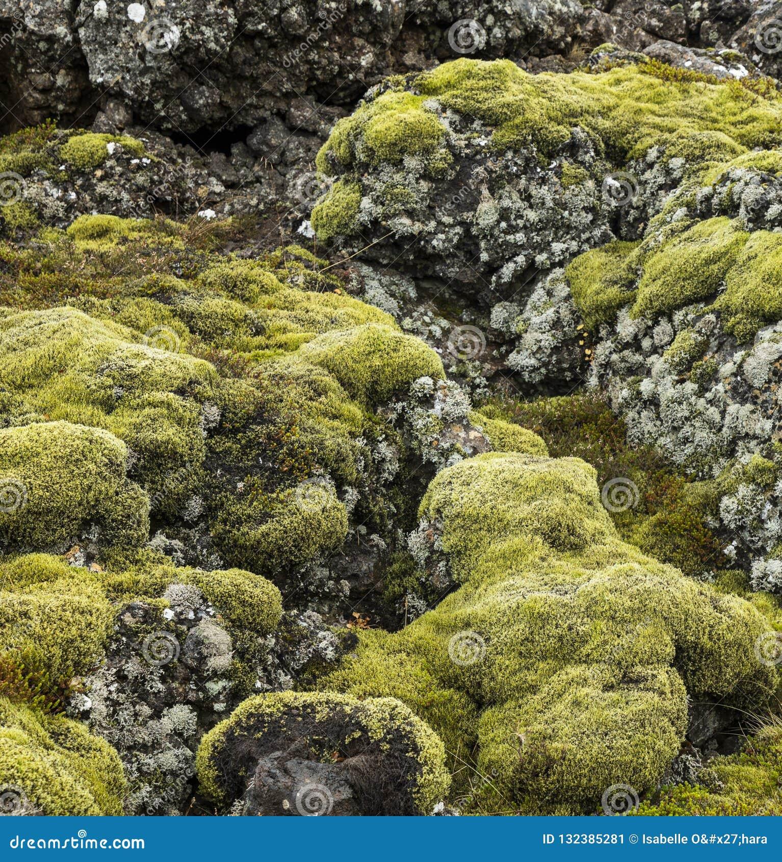 Яркий ый-зелен мох и серый лишайник покрыли базальт или вулканическую породу