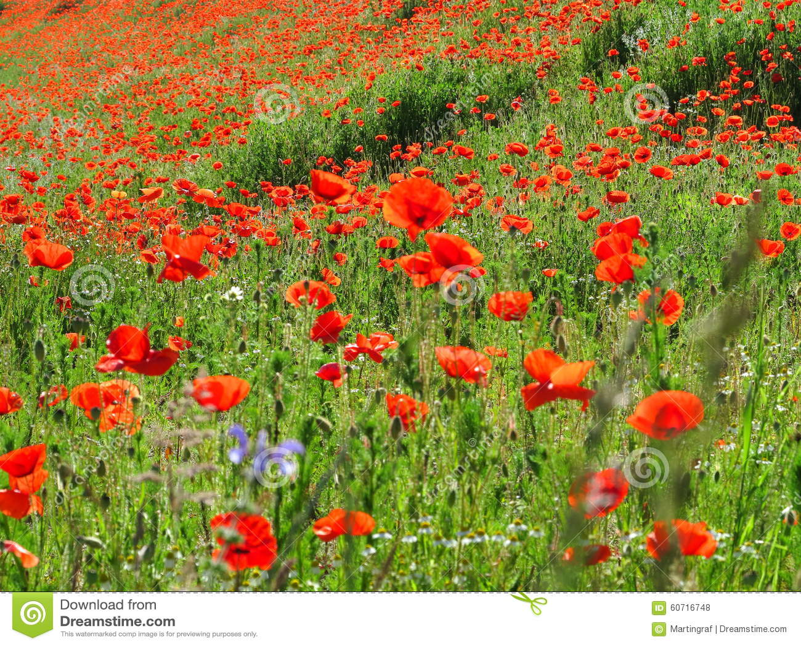 Яркое красное поле мака