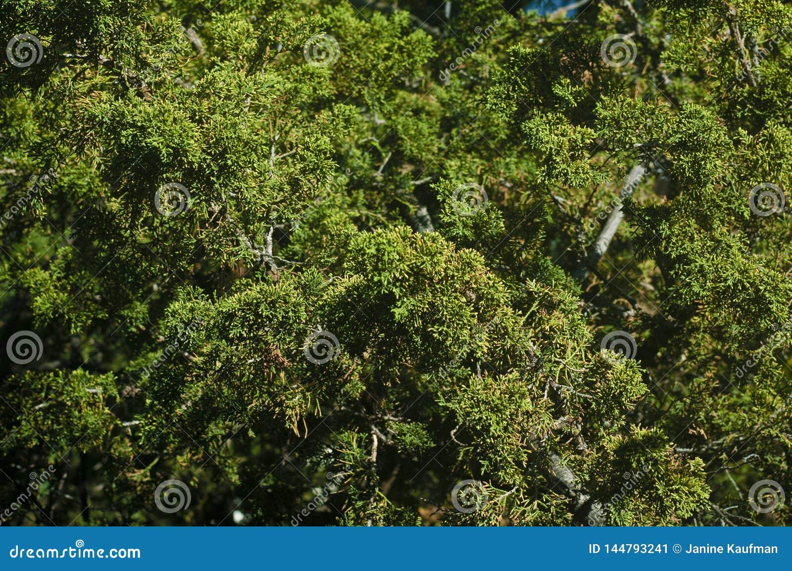 Яркое ое-зелен вечнозеленое дерево выходит ветвям полная предпосылка