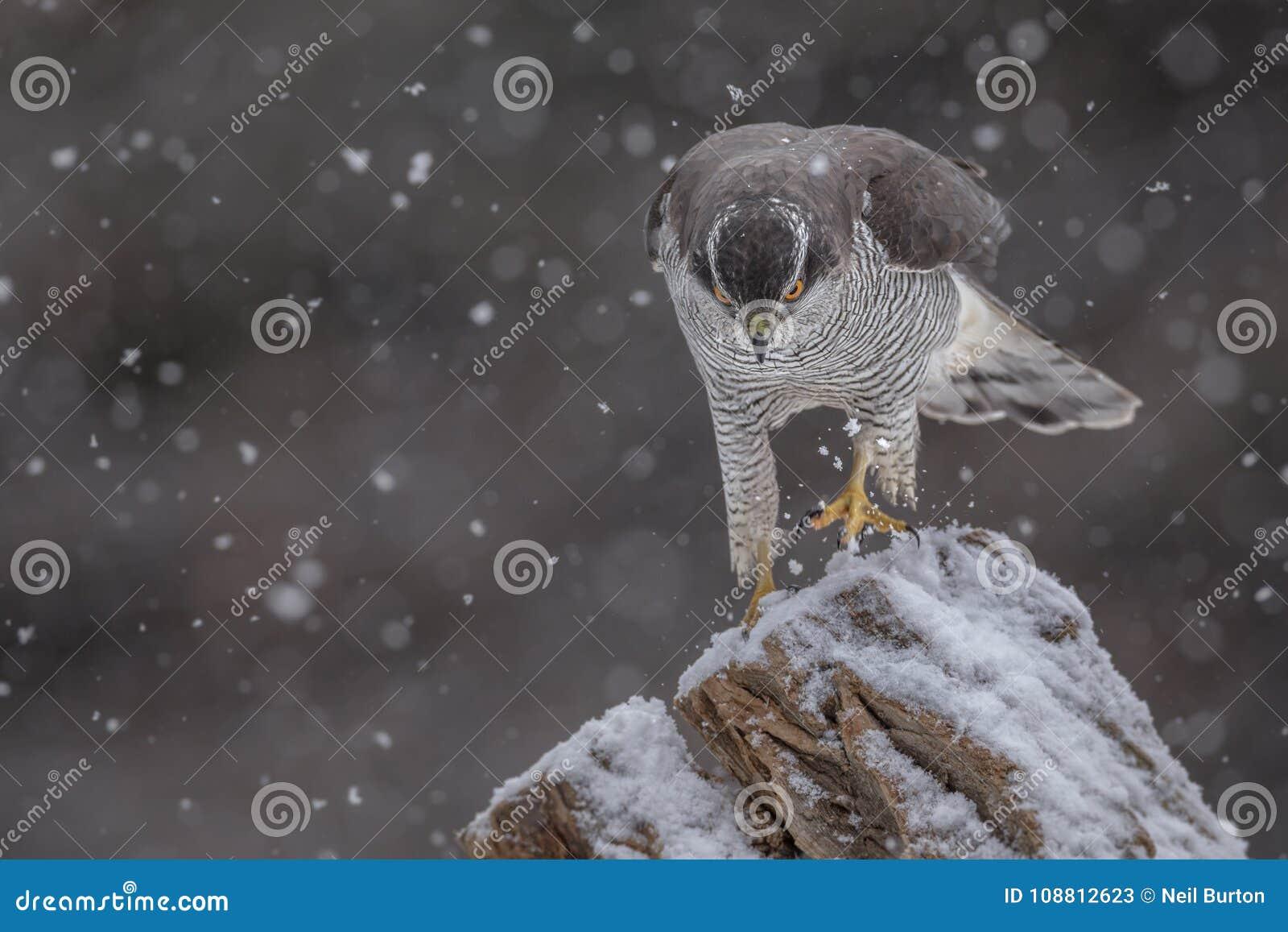 Ястреб-тетеревятник идя через снег