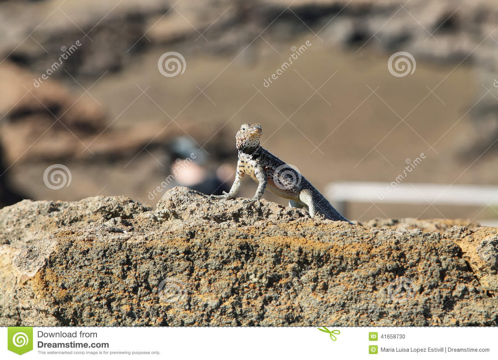 Ящерица лавы Галапагос (albemarlensis Microlophus)