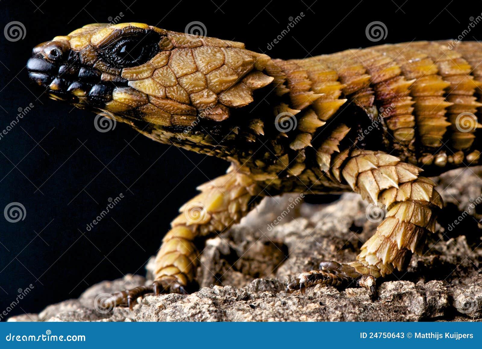 Armadillo Lizard for Sale  Reptiles for Sale