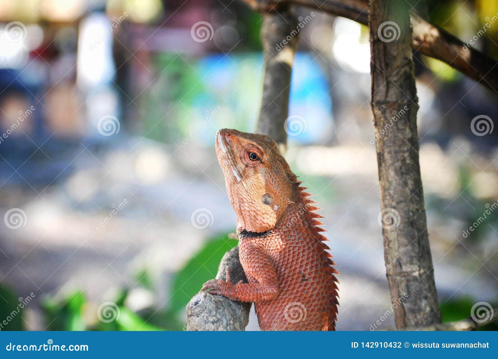 Ящерица на дереве, Таиланд