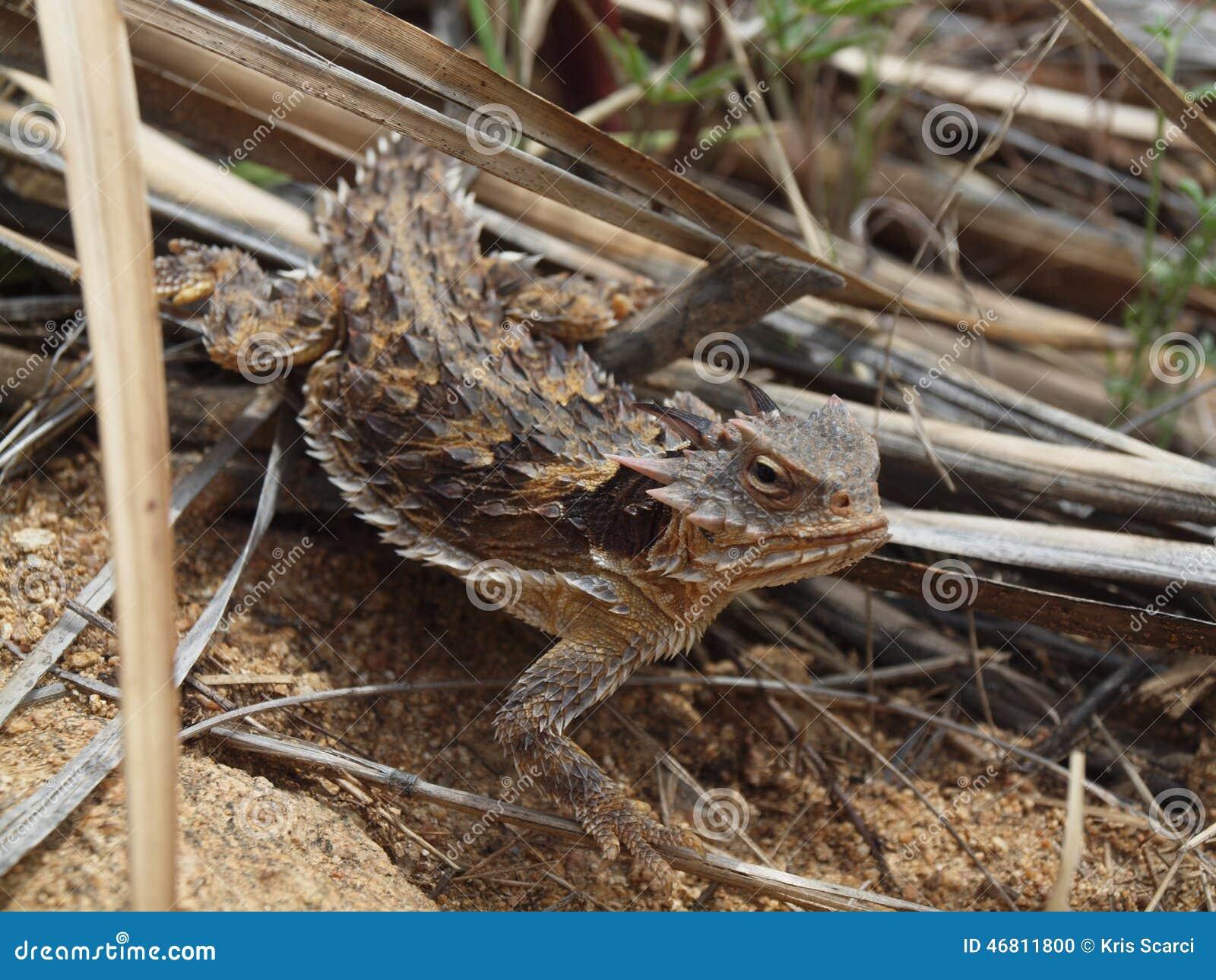 ящерица пустыни horned южная