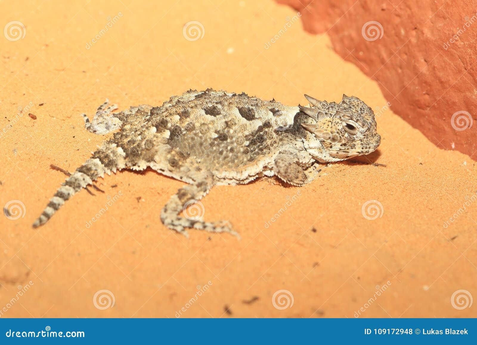 ящерица пустыни horned