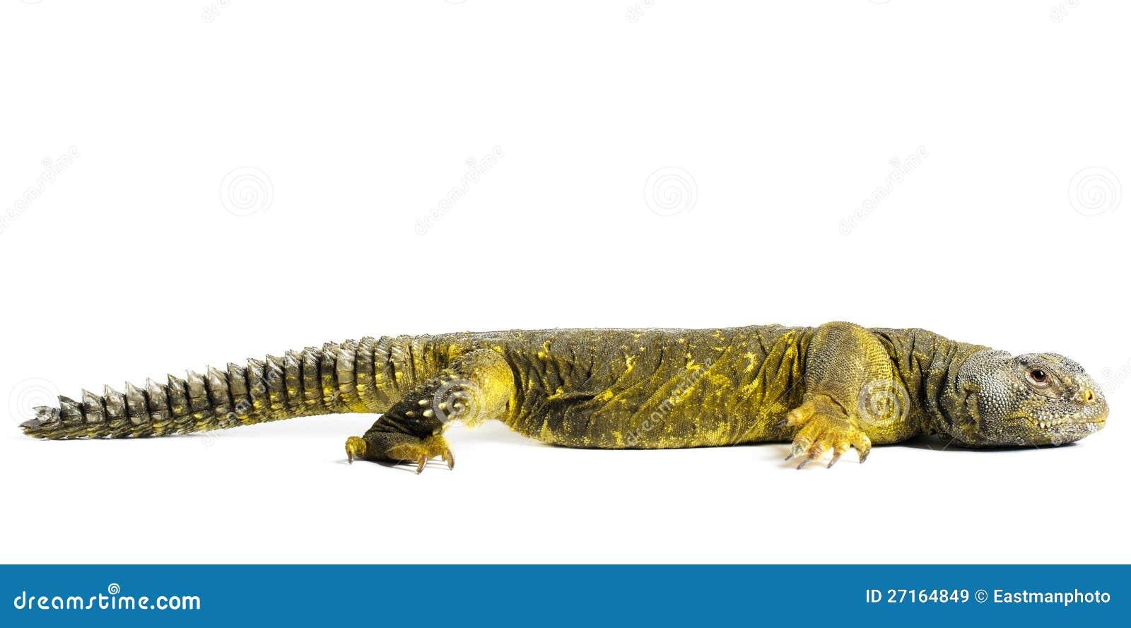 Ящерица Uromastyx