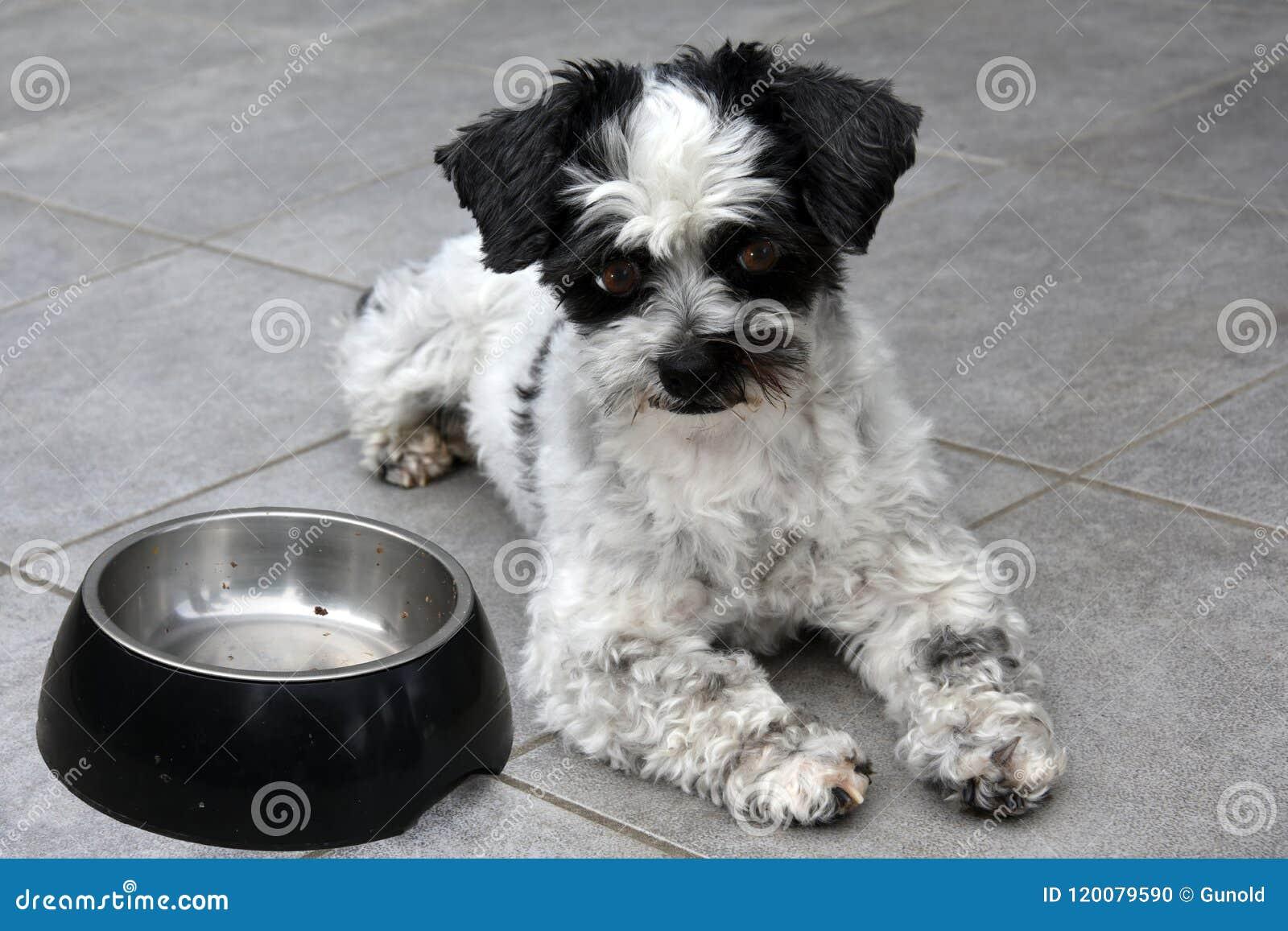 Я жду! Маленькая собака и пустое подавая блюдо