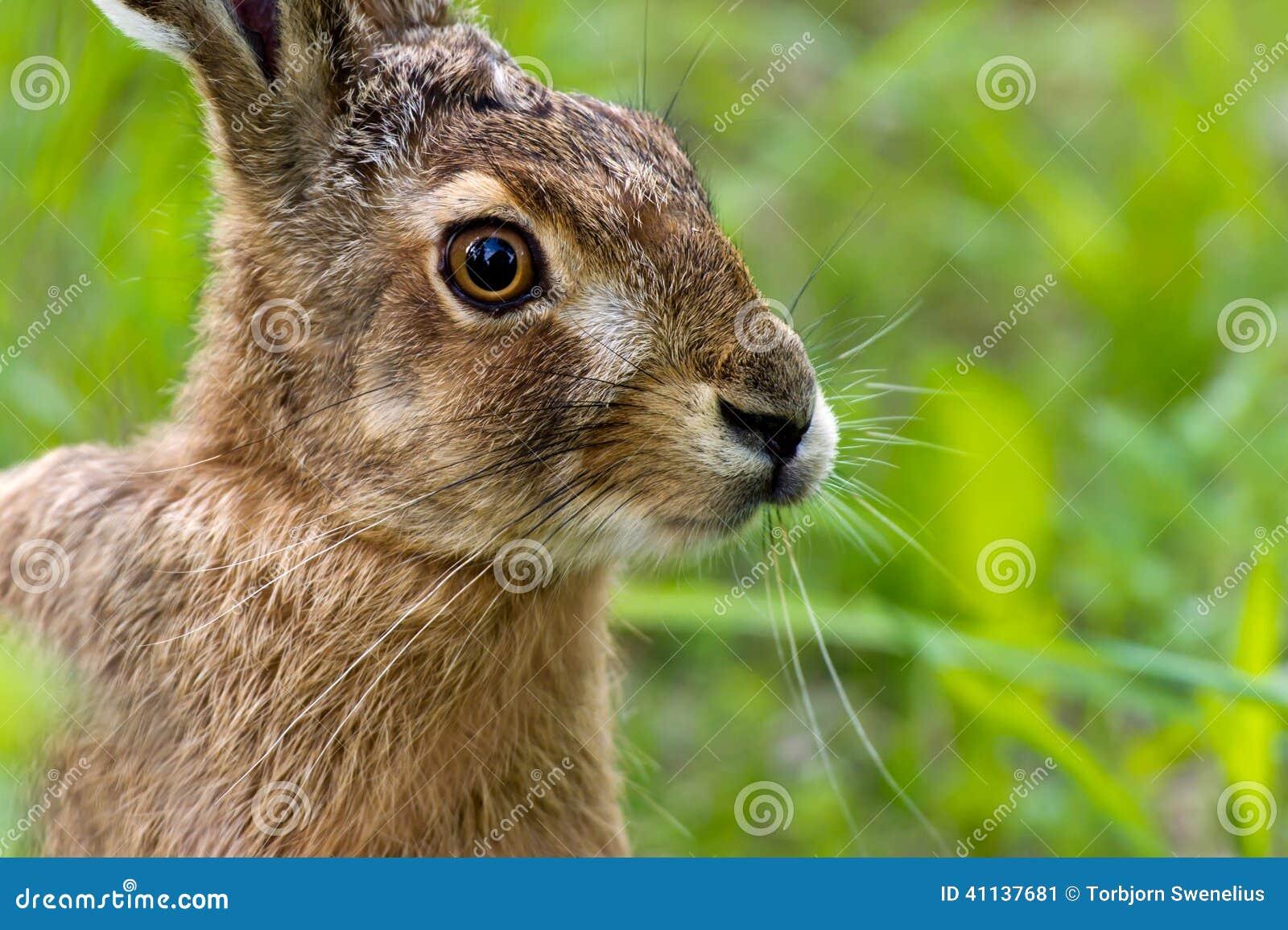 野兔是不是保护动物