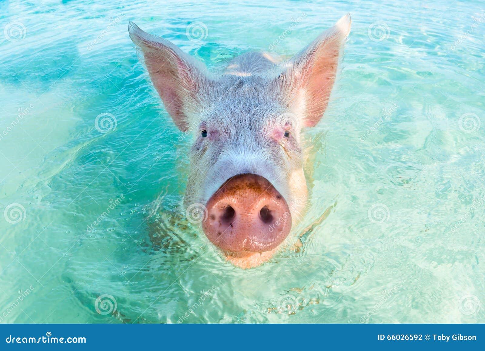 猪游泳表情包分享展示图片