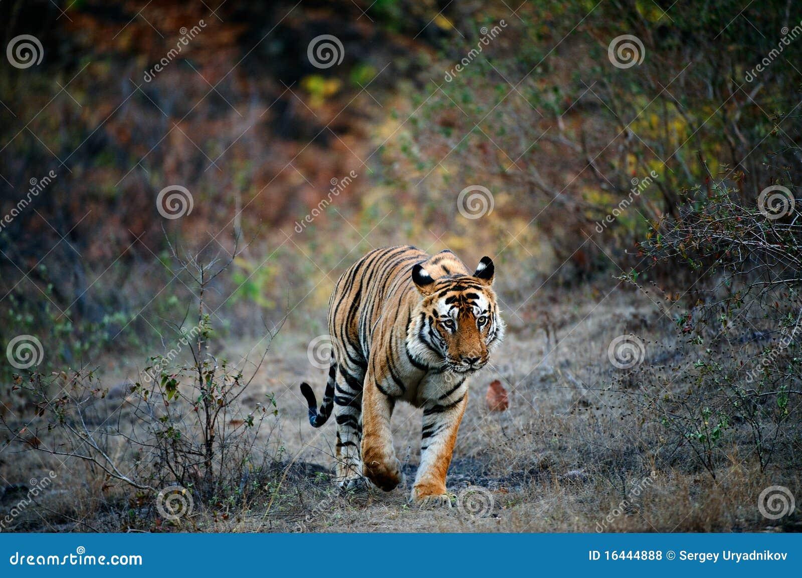 印度老虎 免版税库存照片