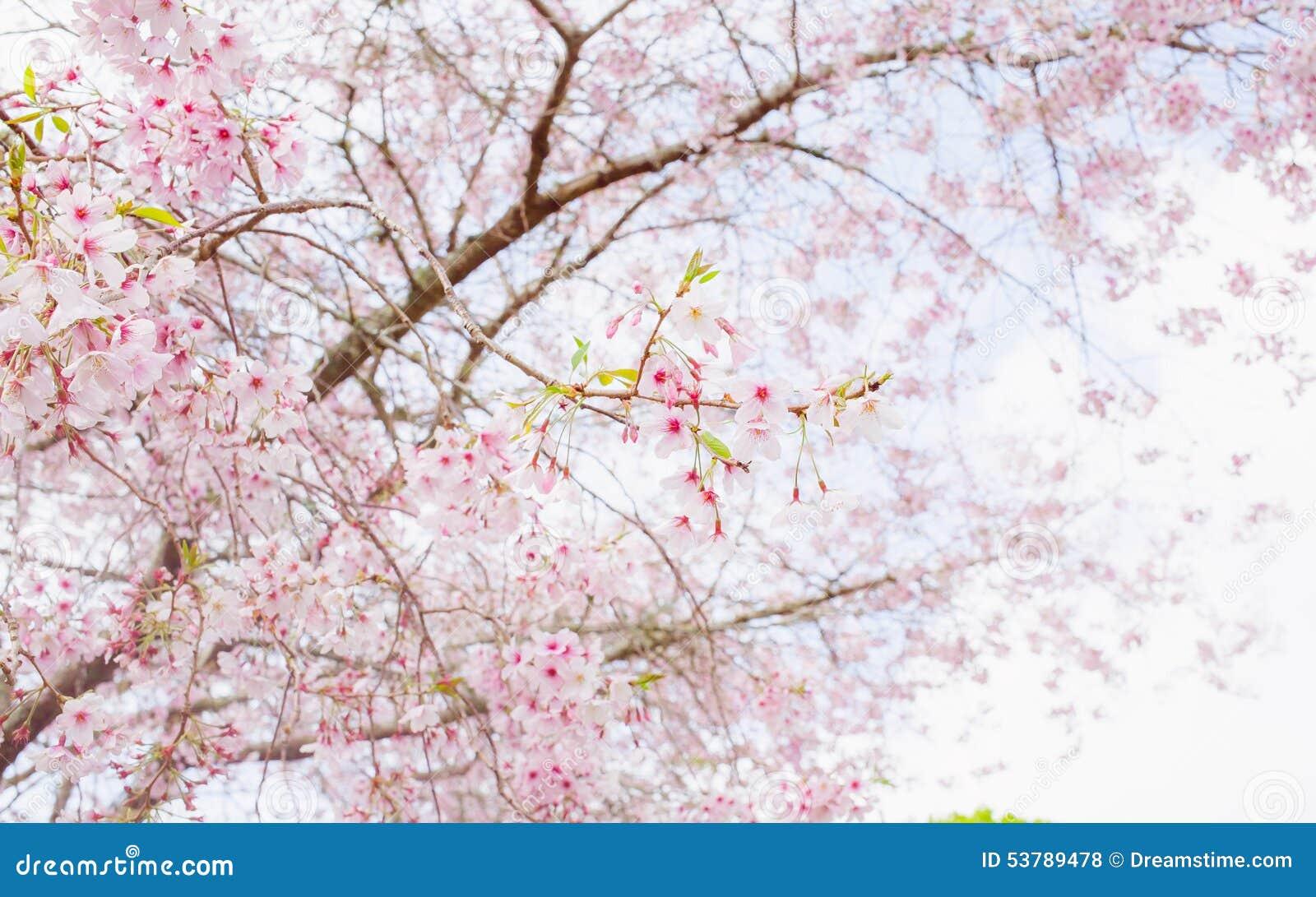 樱花树 库存照片 - 图片图片