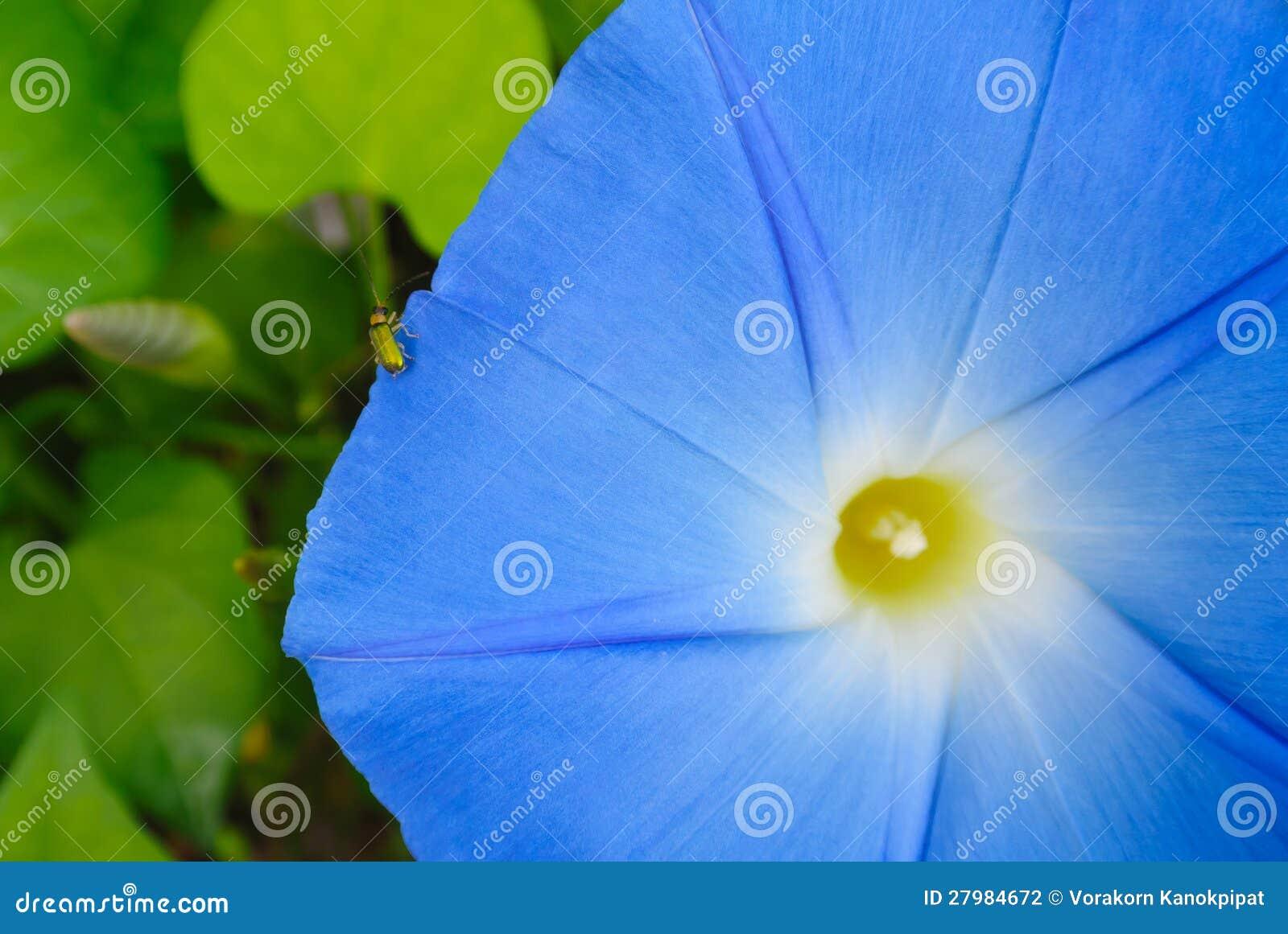 与昆虫的蓝色花