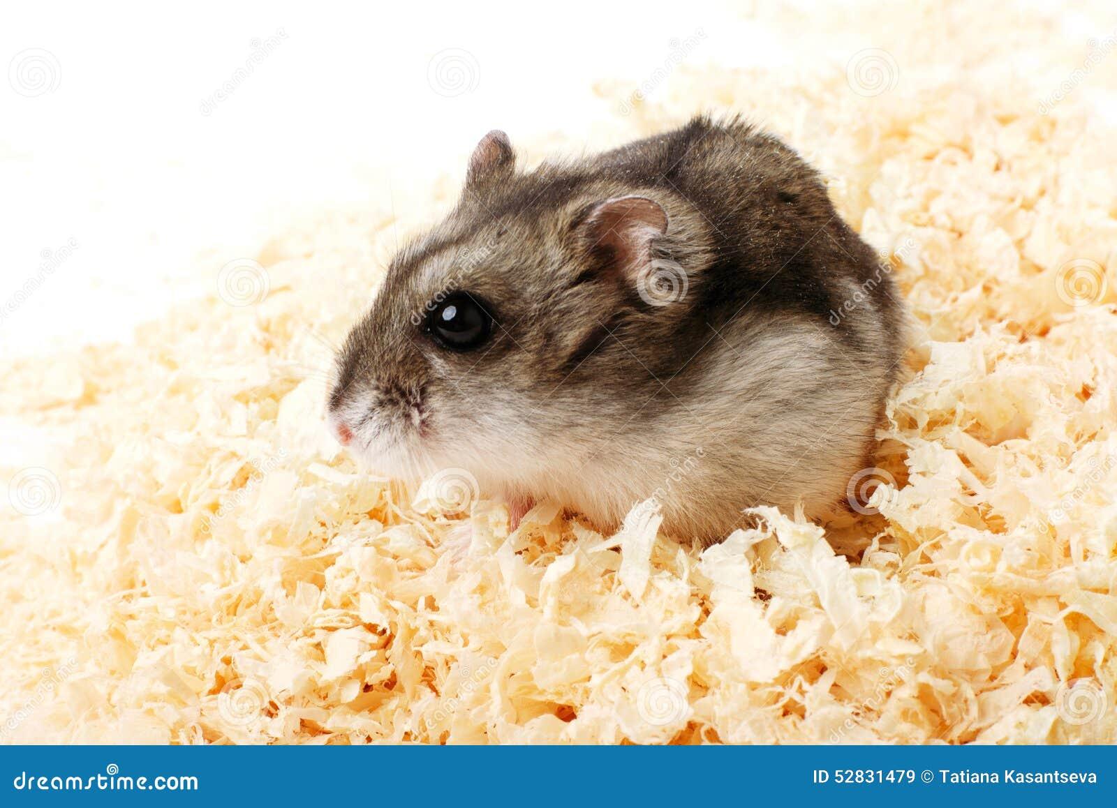 在锯木屑的djungarian仓鼠