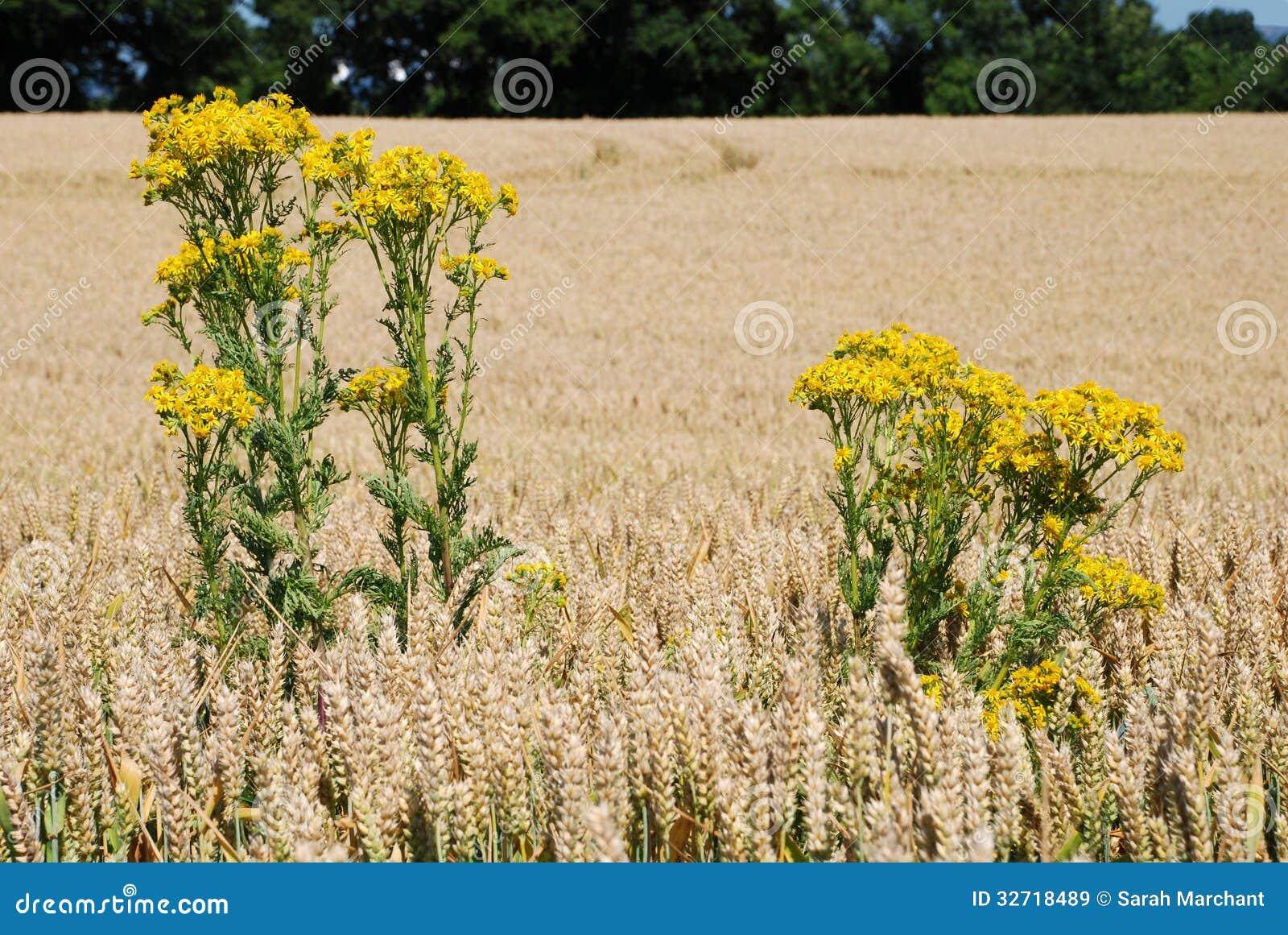 在一块麦田的狗舌草