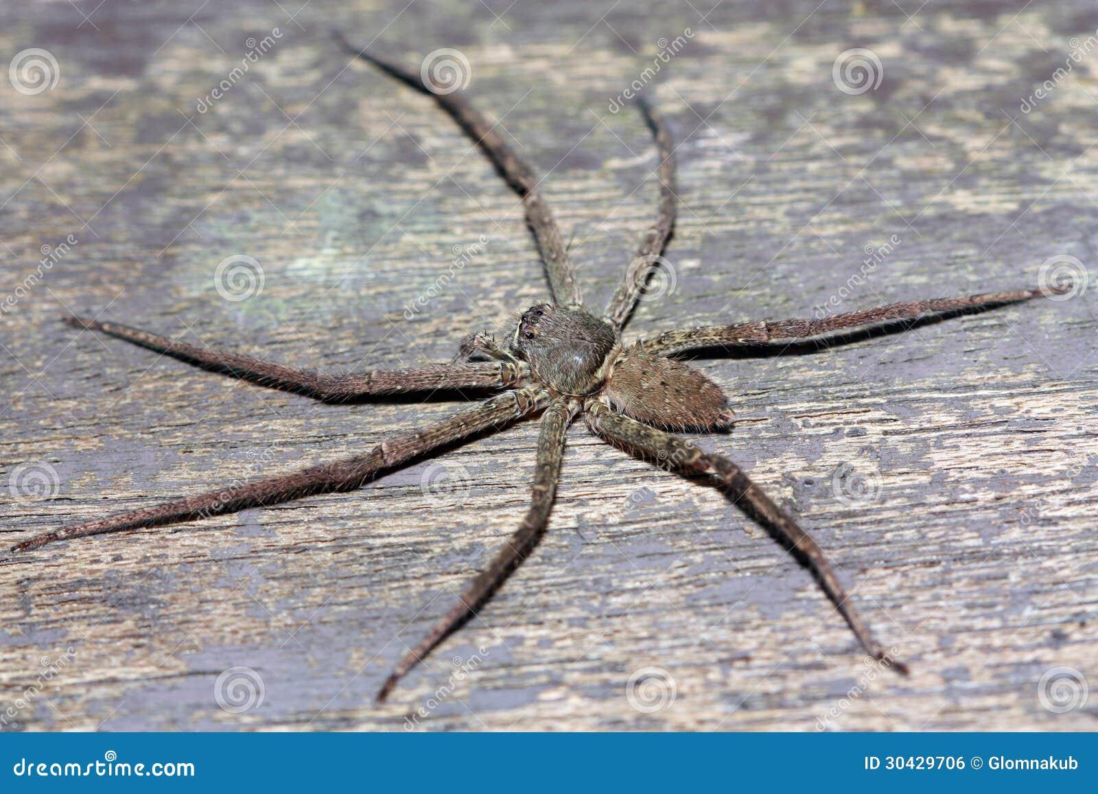 蜘蛛是节肢动物的生物.与昆虫