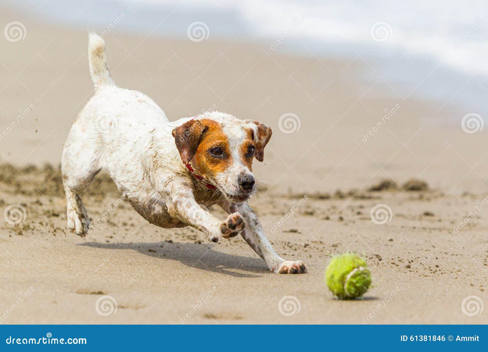追逐球的小狗 库存照片图片