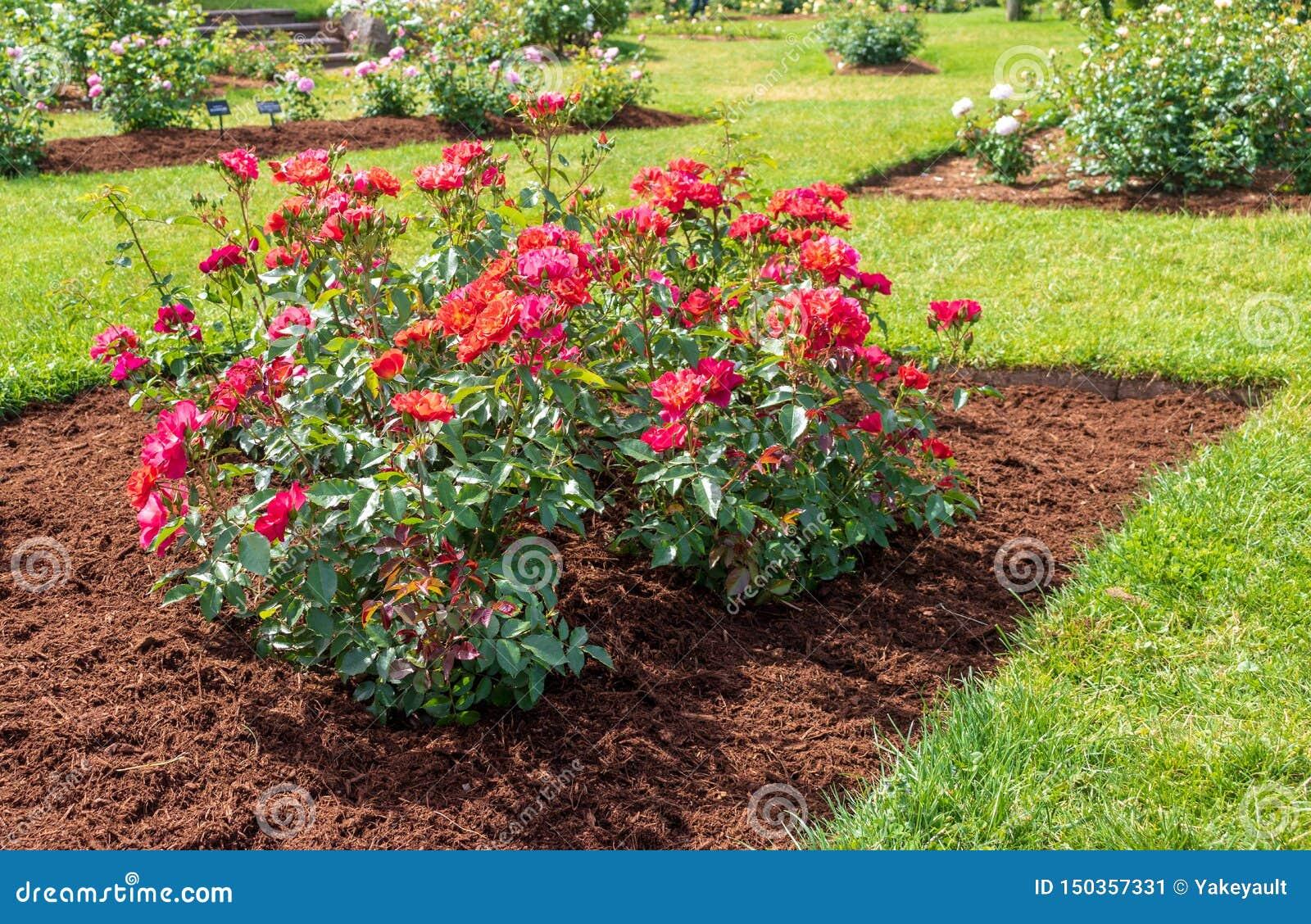 'Cinco de Mayo 'nam bloei in een met mulch bedekt bloembed toe