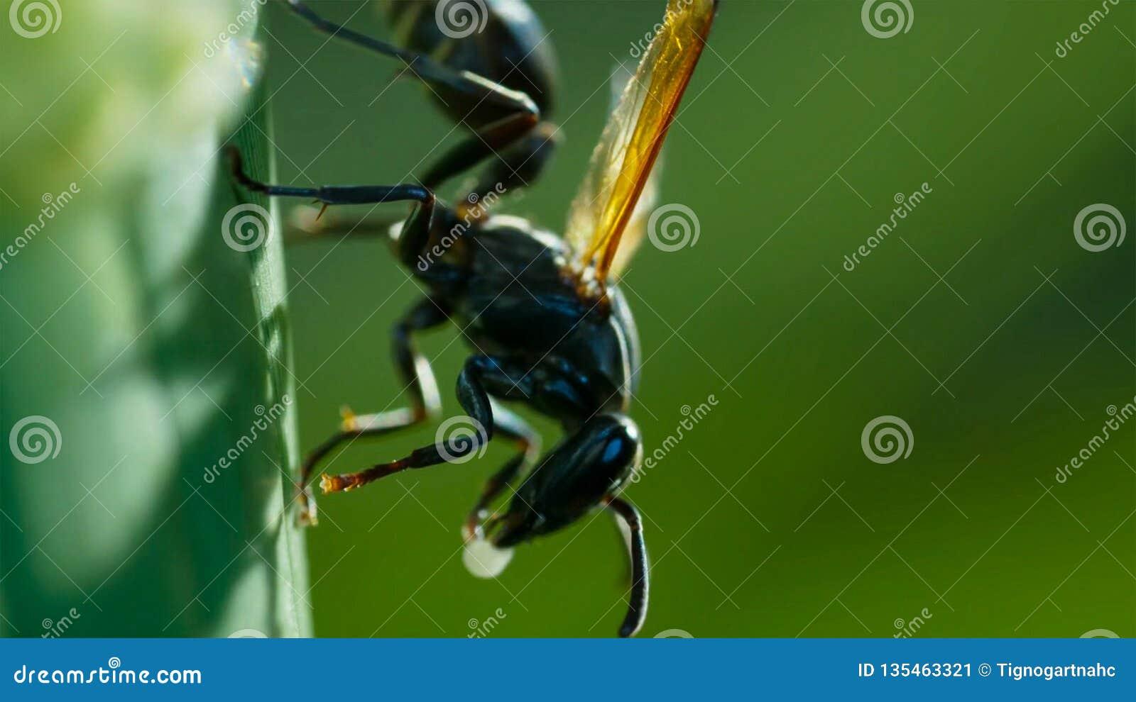 """""""Fine della vespa dell imbrattatore di fango """"dello Sceliphron sulla natura del dettaglio Caementarium dello Sceliphron"""