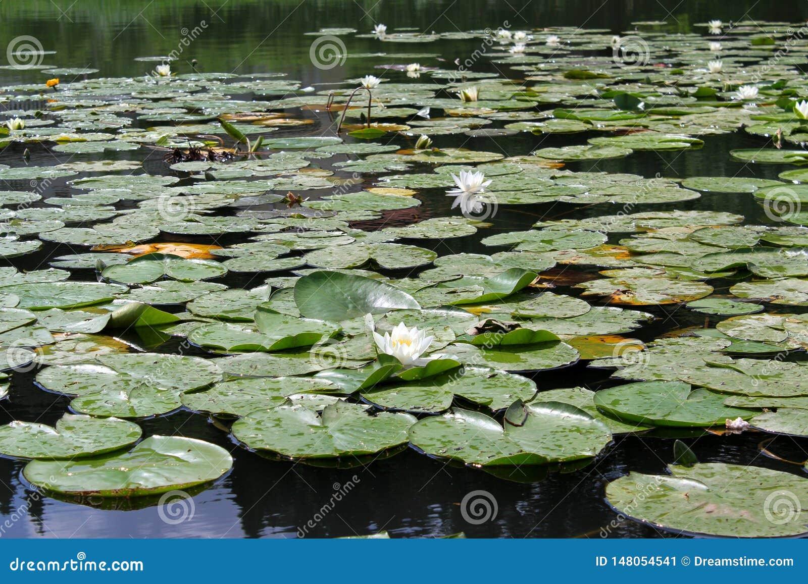 """€ do lírio de água branca"""" uma planta aquática constante Ðœontenegro"""