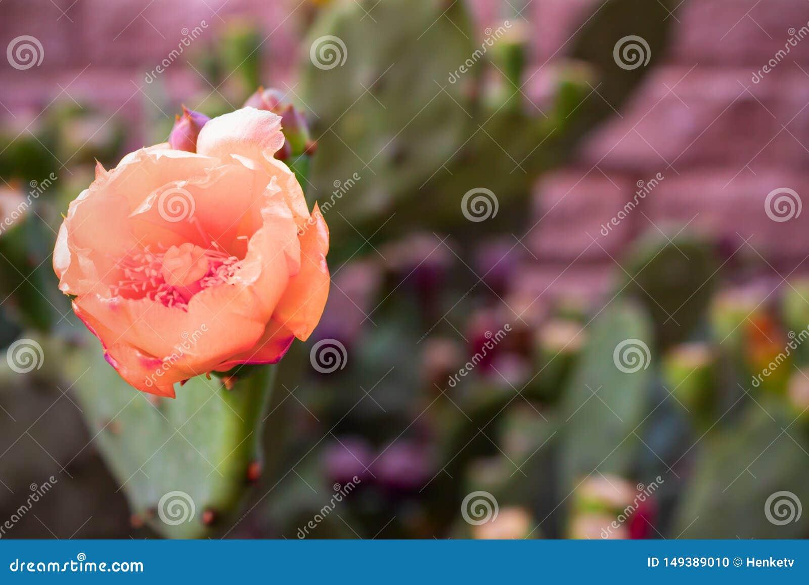 一个多刺的仙人掌的美丽的桃红色花